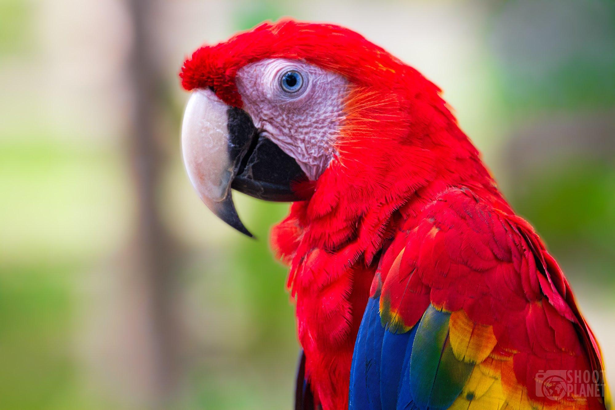 Scarlet macaw parrot portrait, Costa Rica