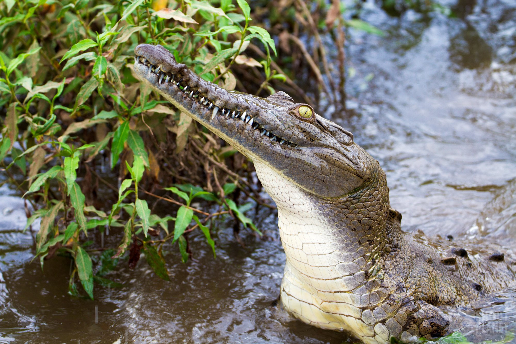 Scary white caiman face in Costa Rica