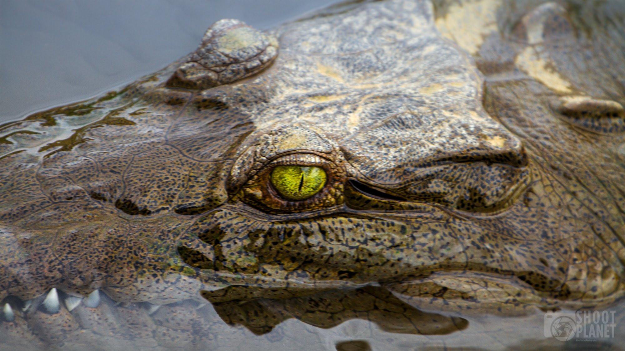 White caiman eye in Costa Rica