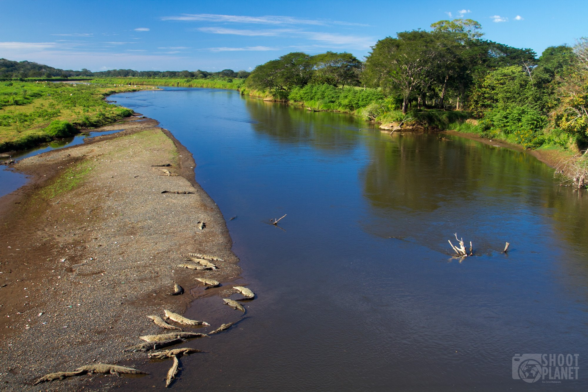 Caimans in the Tarcoles River, Costa Rica