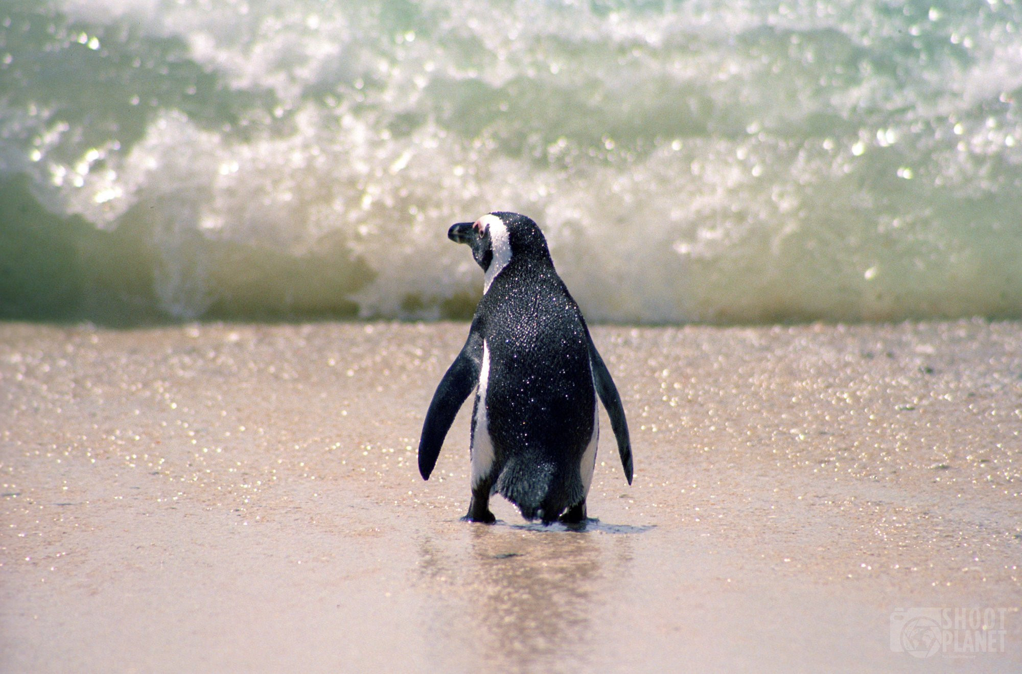 African penguin on Boulders Beach, South Africa