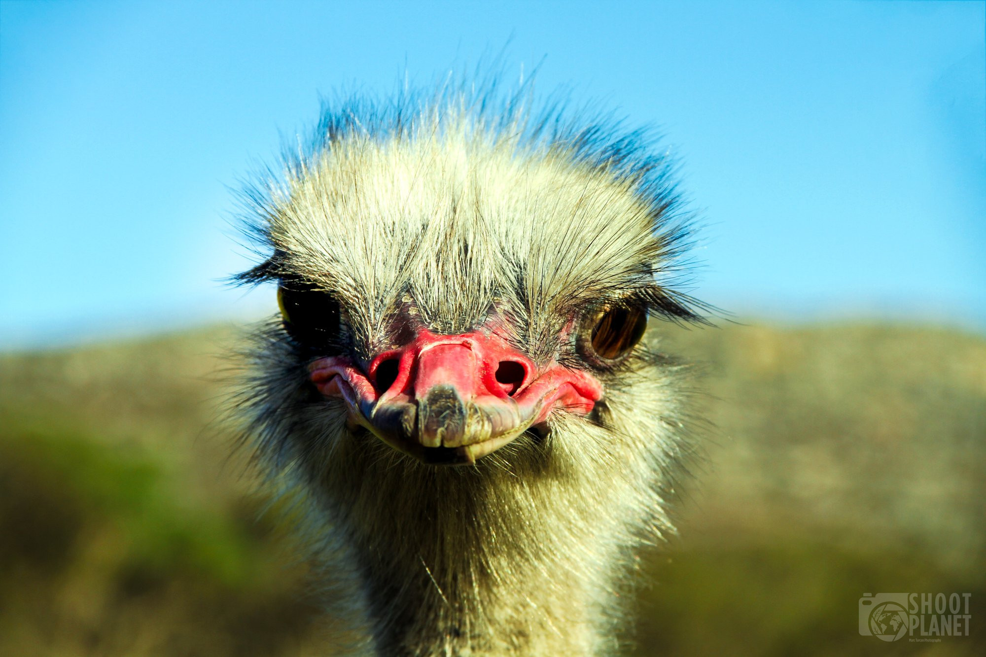 Wild ostrich, Cape point, South Africa