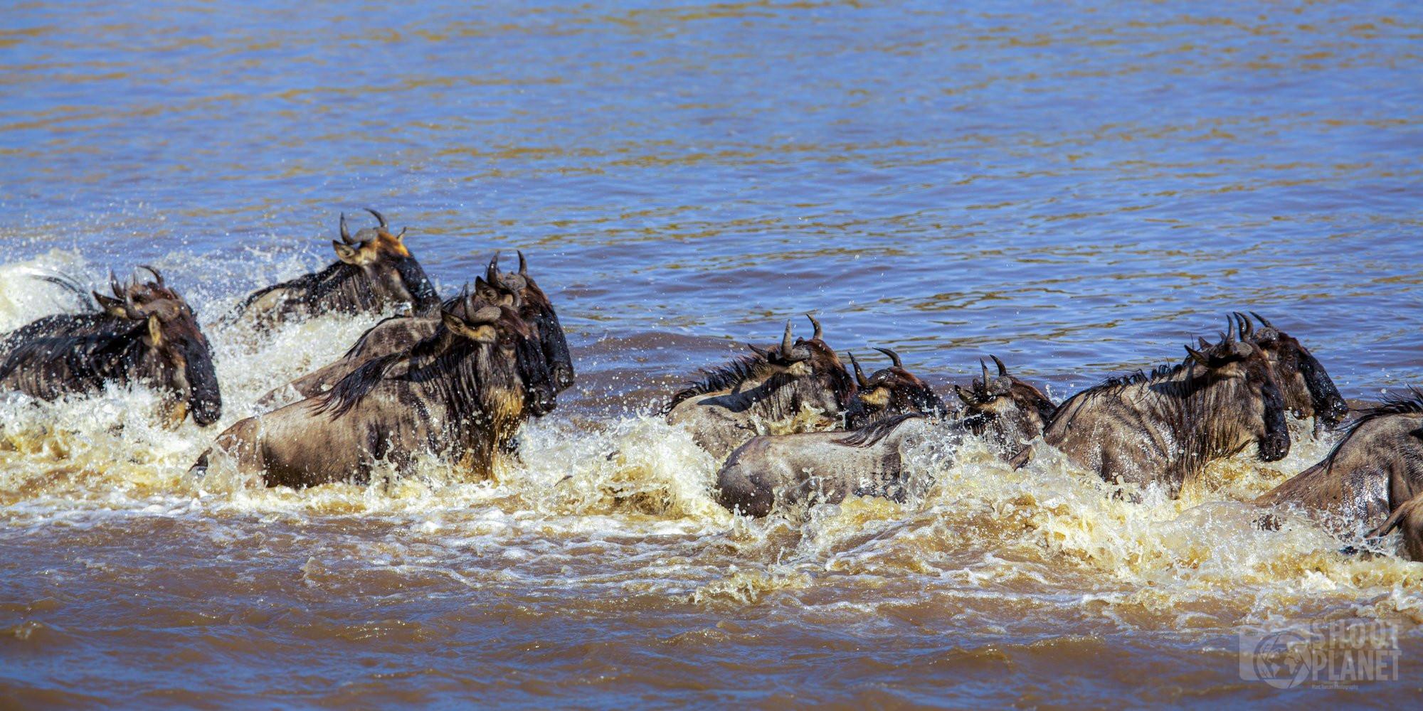 Wildebeest migration, Tanzania and Kenya border, Africa