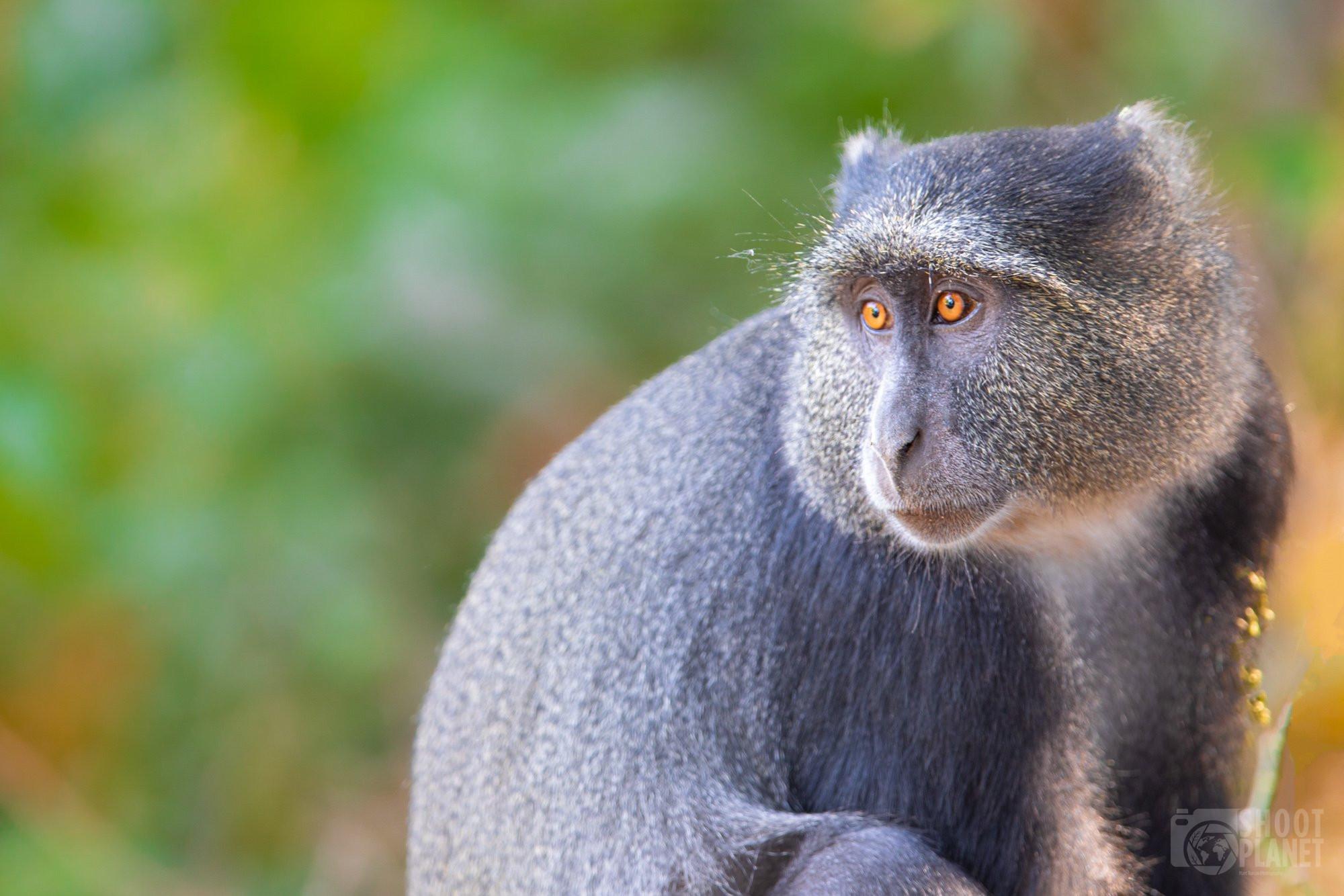 Manyara lake national park blue monkey, Tanzania