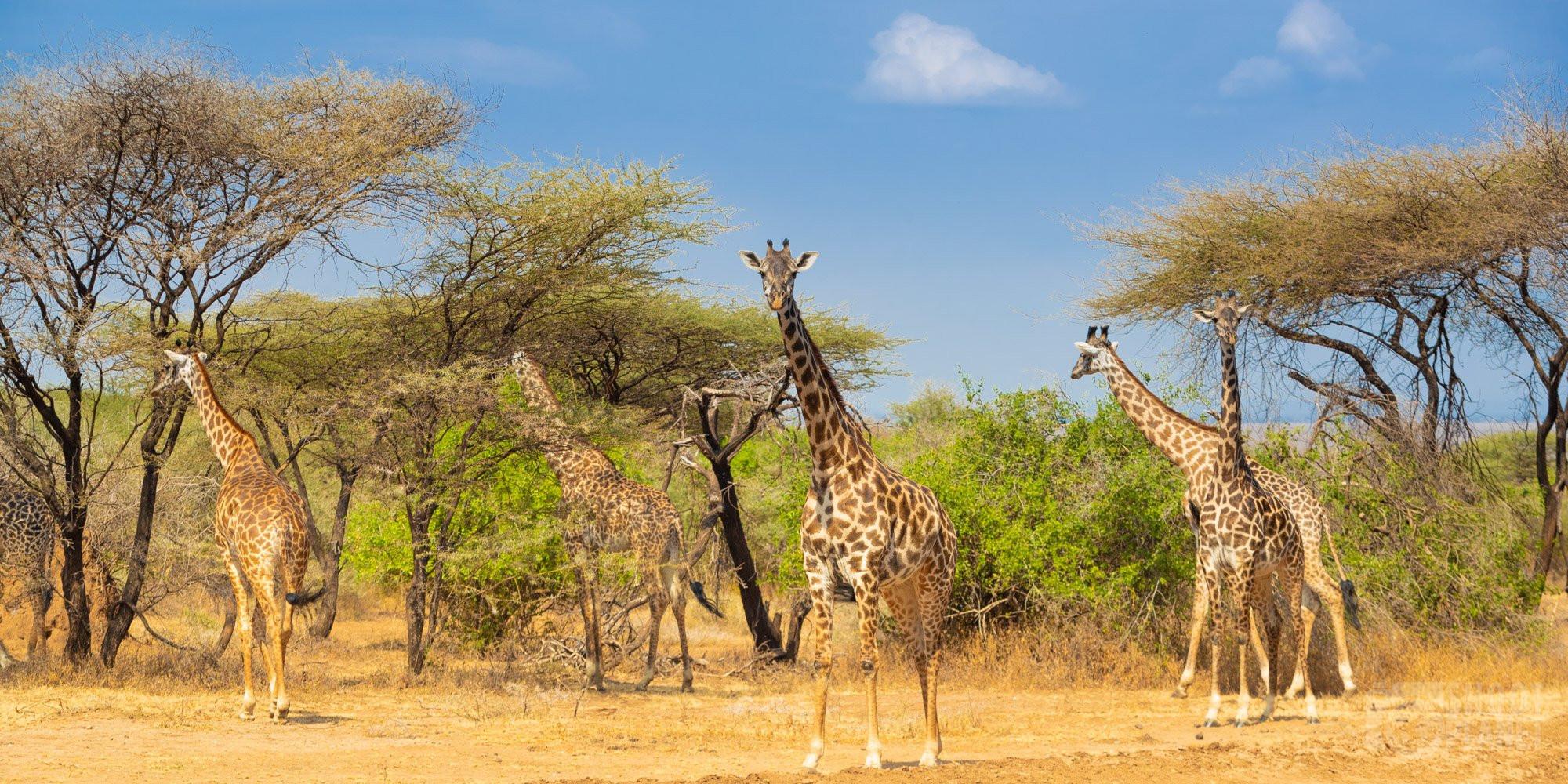 Manyara lake national park giraffe Tanzania