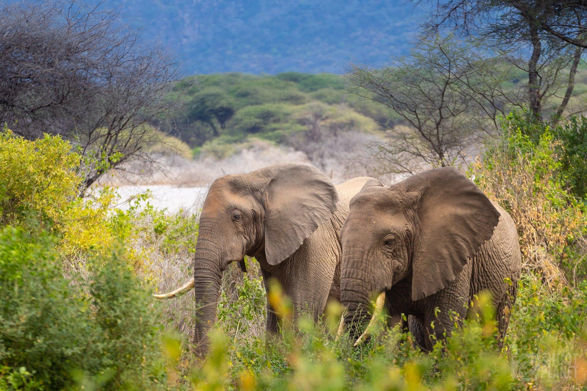 Elephants in Manyara lake National Park, Tanzania