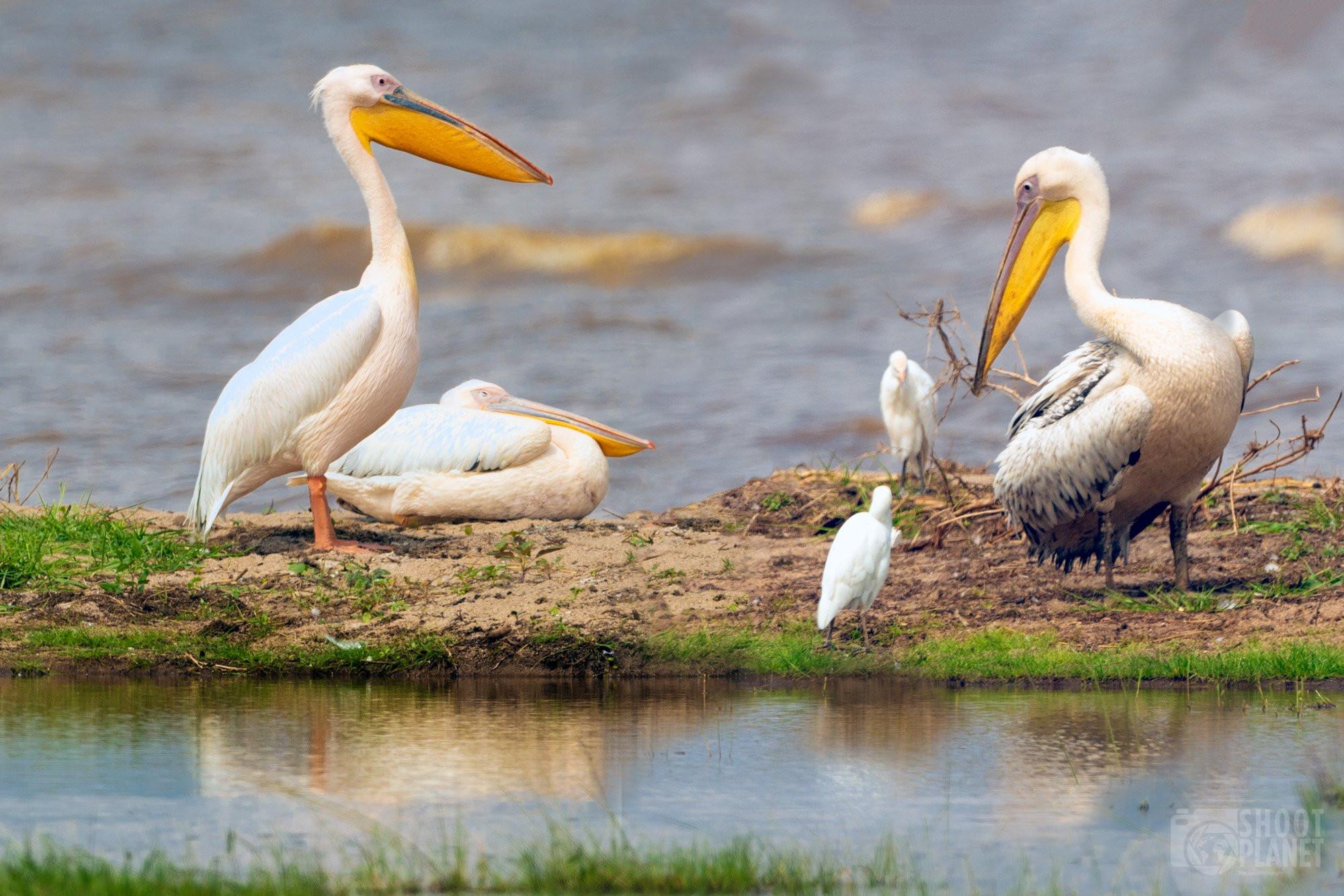Manyara Lake National Park, pelicans, Tanzania