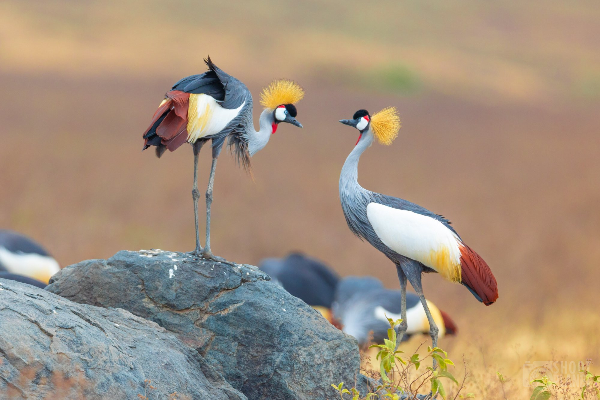 Black-crowned crane birds, Ngorongoro crater, Tanzania
