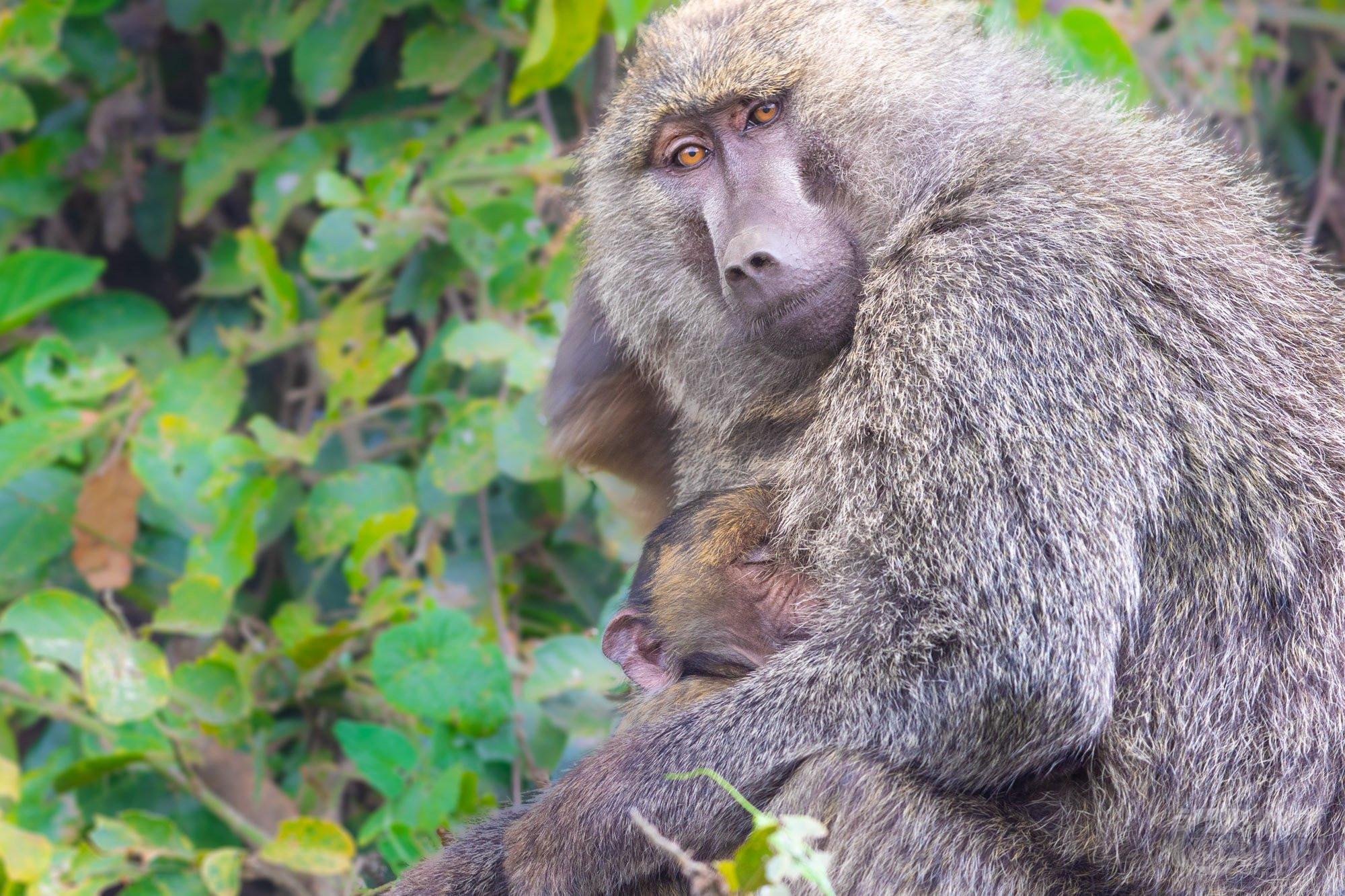 Baboon family in Ngorongoro crater, Tanzania