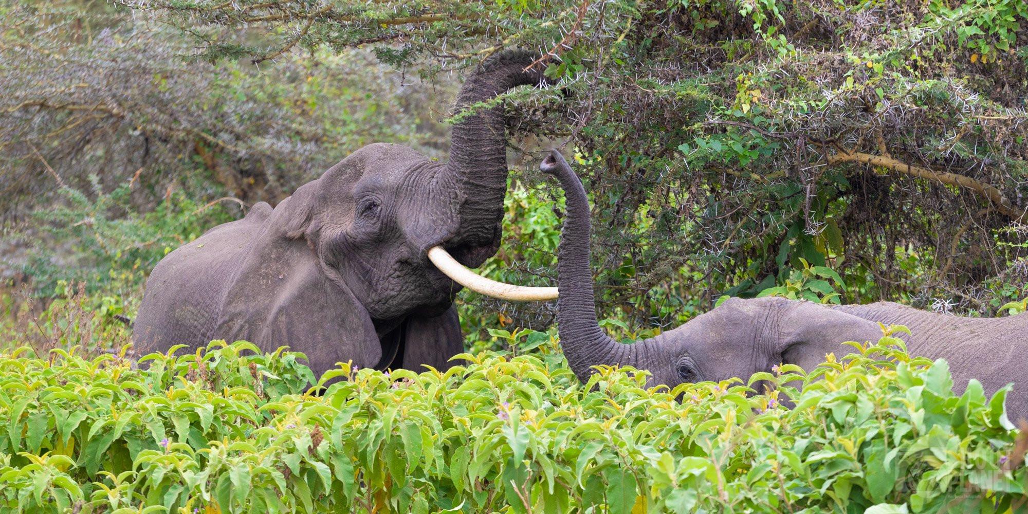 Elephants in Ngorongoro crater forest, Tanzania
