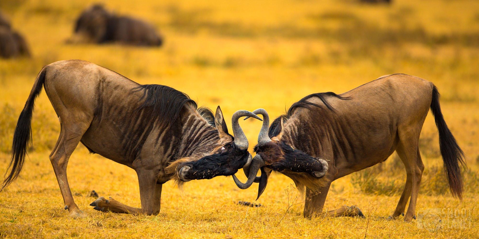 Wildebeests fighting in Ngorongoro crater caldera, Tanzania