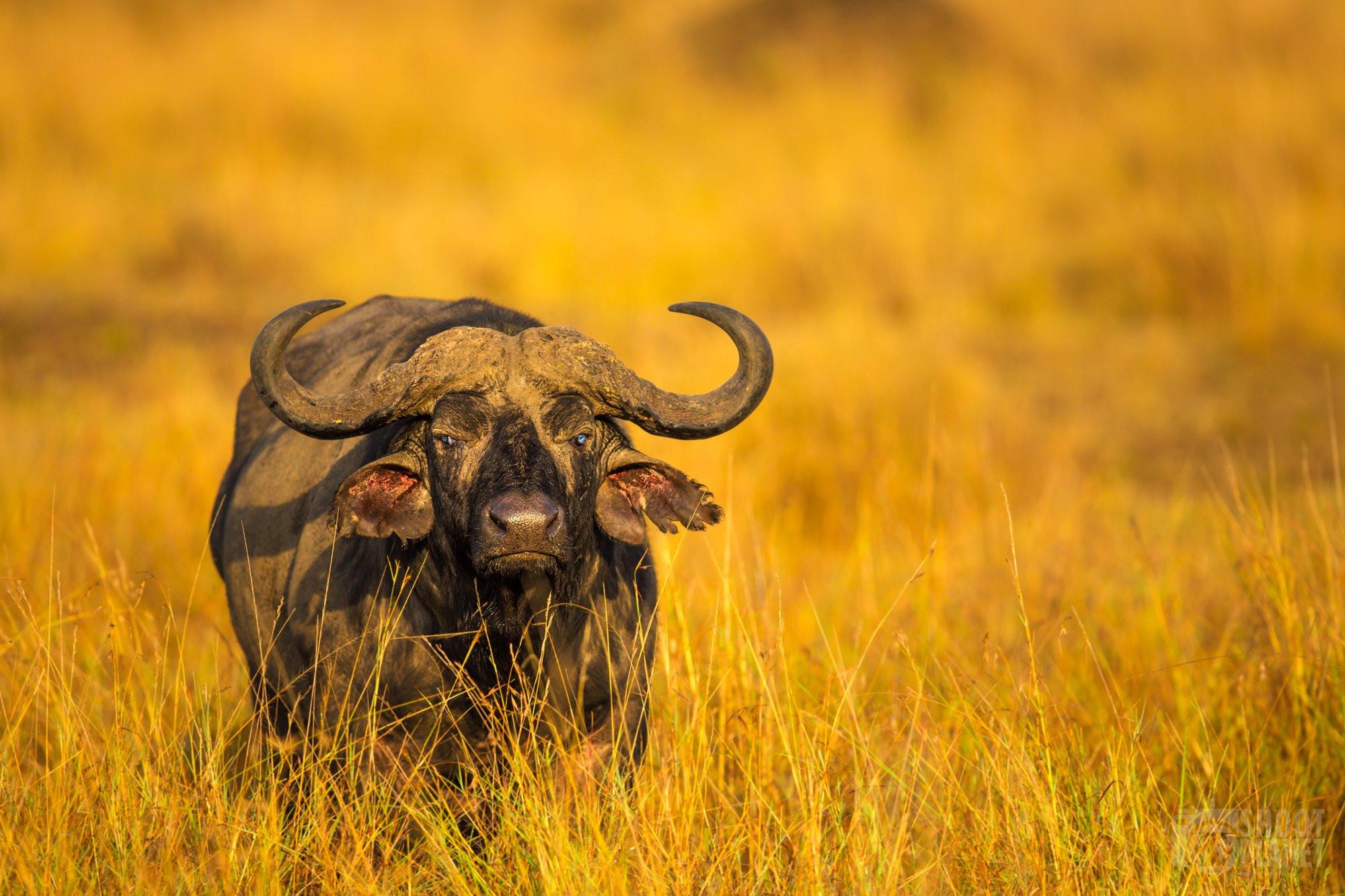 Blue-eyed Cape African buffalo, Serengeti Tanzania