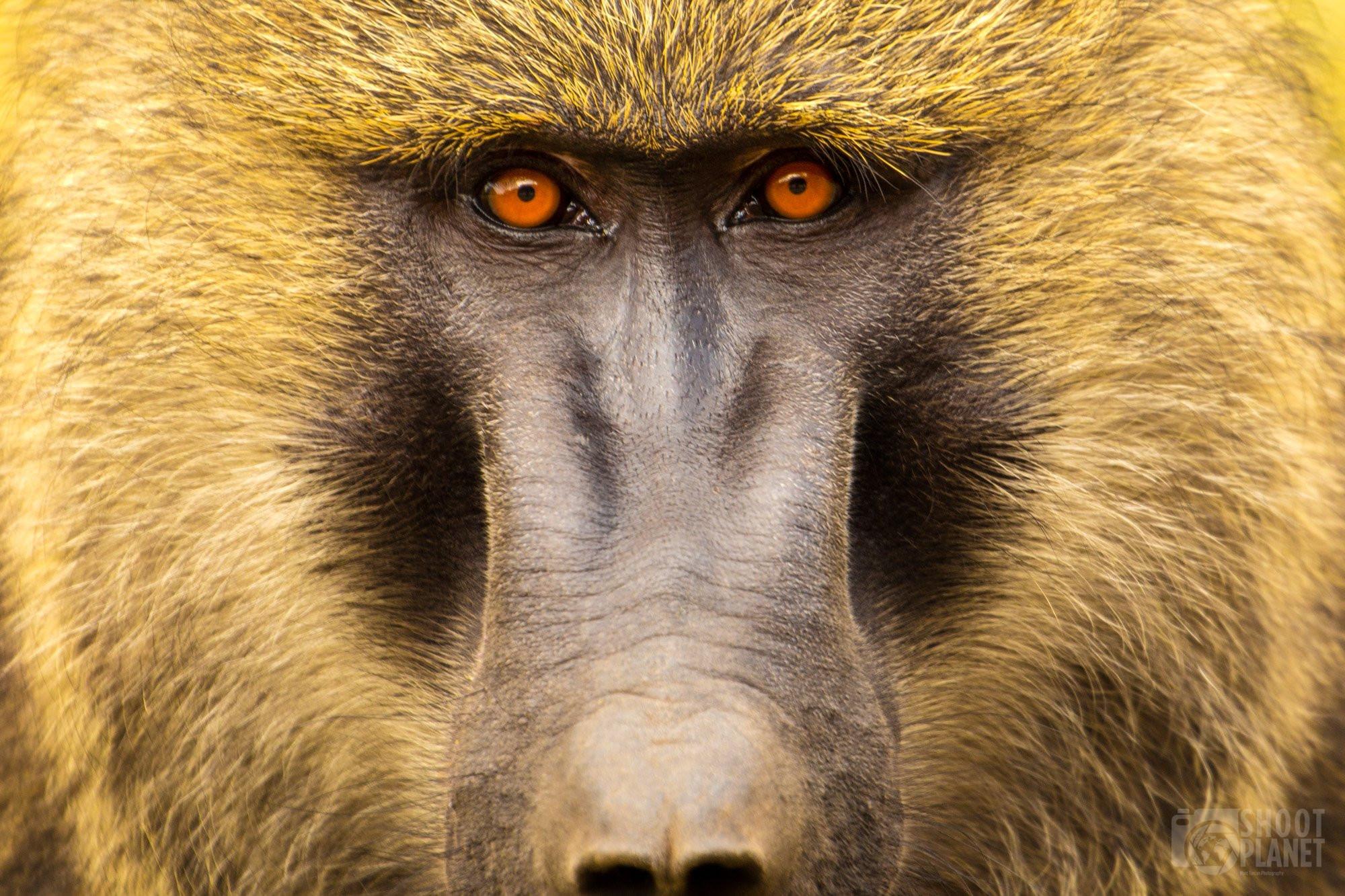 Staring olive baboon eyes close-up, Serengeti Tanzania