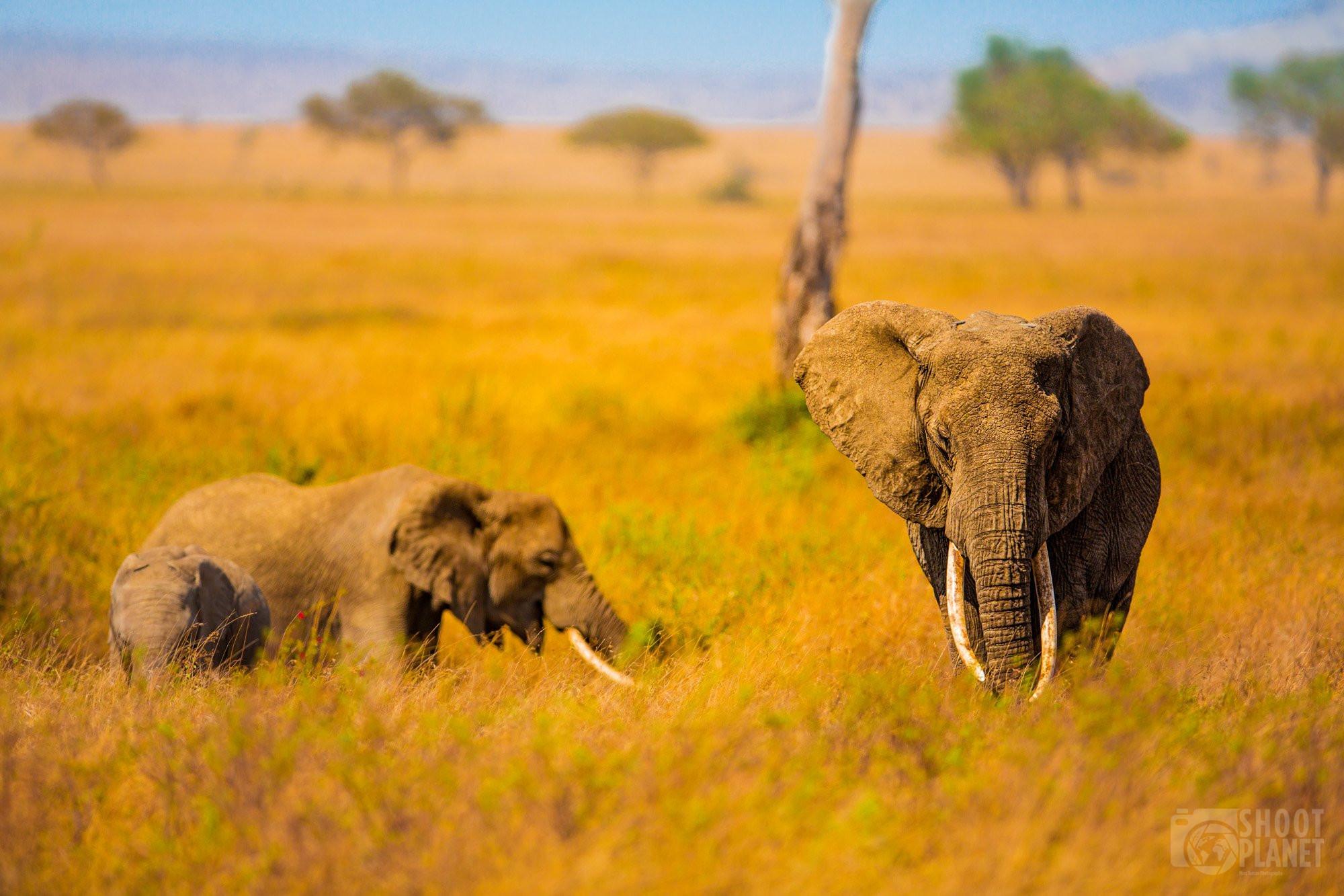 Three elephants in Serengeti national park, Tanzania