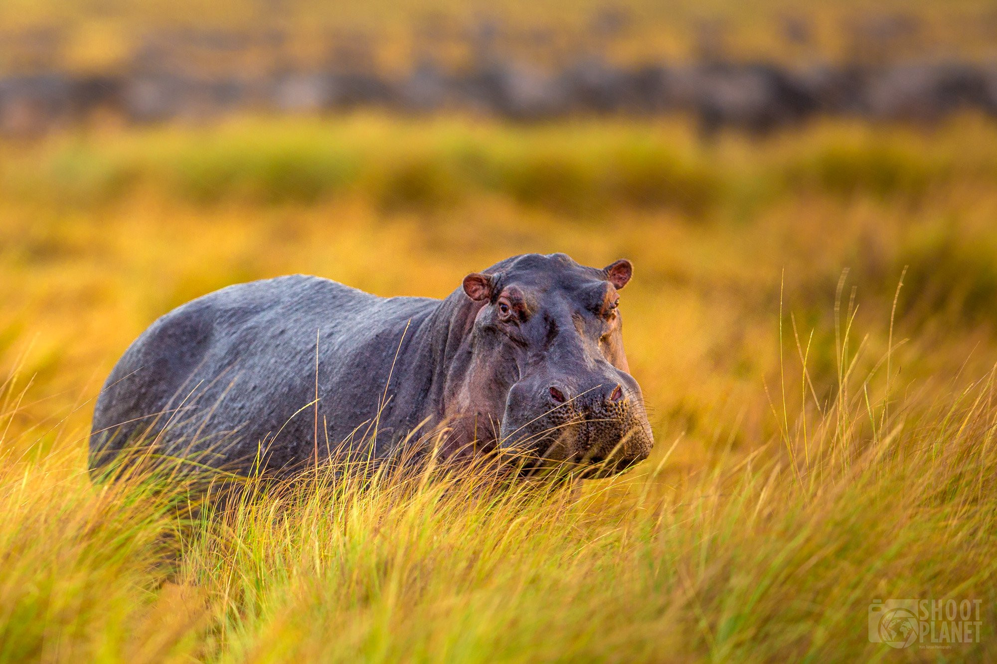 Hippopotamus in Serengeti national park savanna, Tanzania