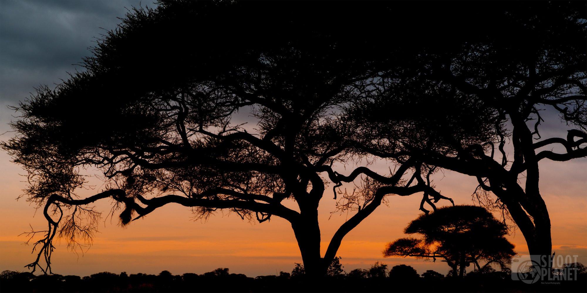Acacia tree sunrise, Tarangire national park tanzania