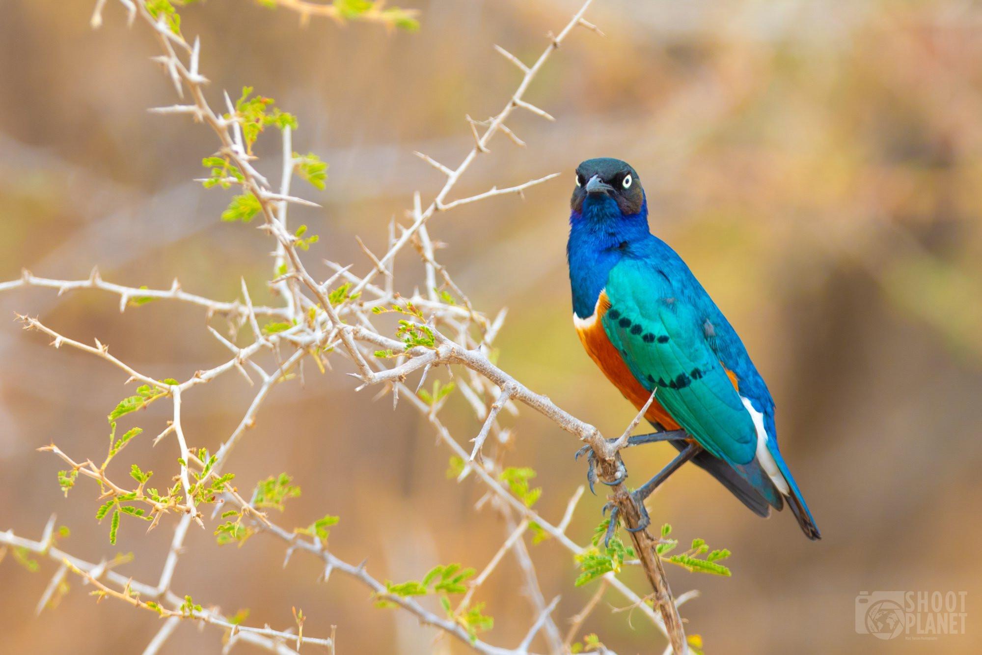 Starling bird in Tarangire National Park, Tanzania