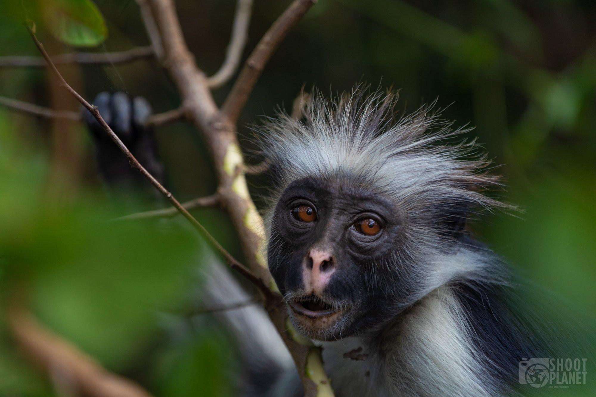 Red Colobus Monkey, Jozani forest Zanzibar TanzaniaRed Colobus Monkey, Jozani forest Zanzibar Tanzania