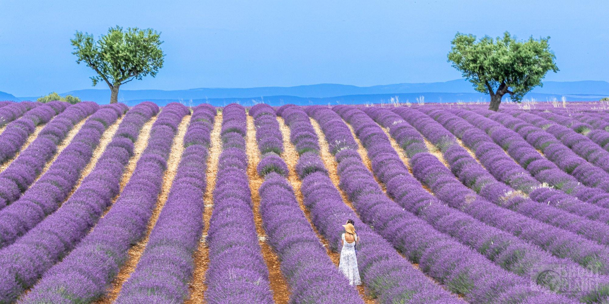 Romantic twilight in Valensole lavender fields, France