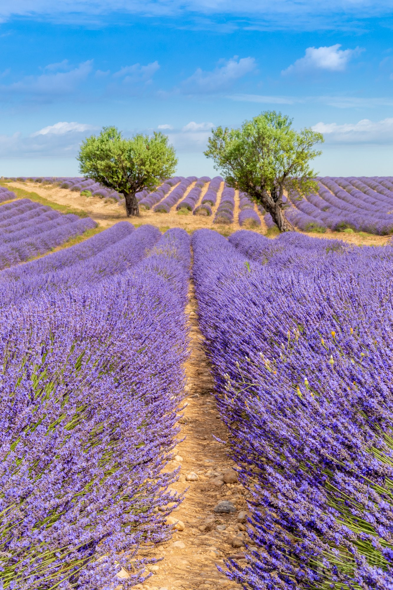 Colorful Angelvin lavender fields and trees in Valensole