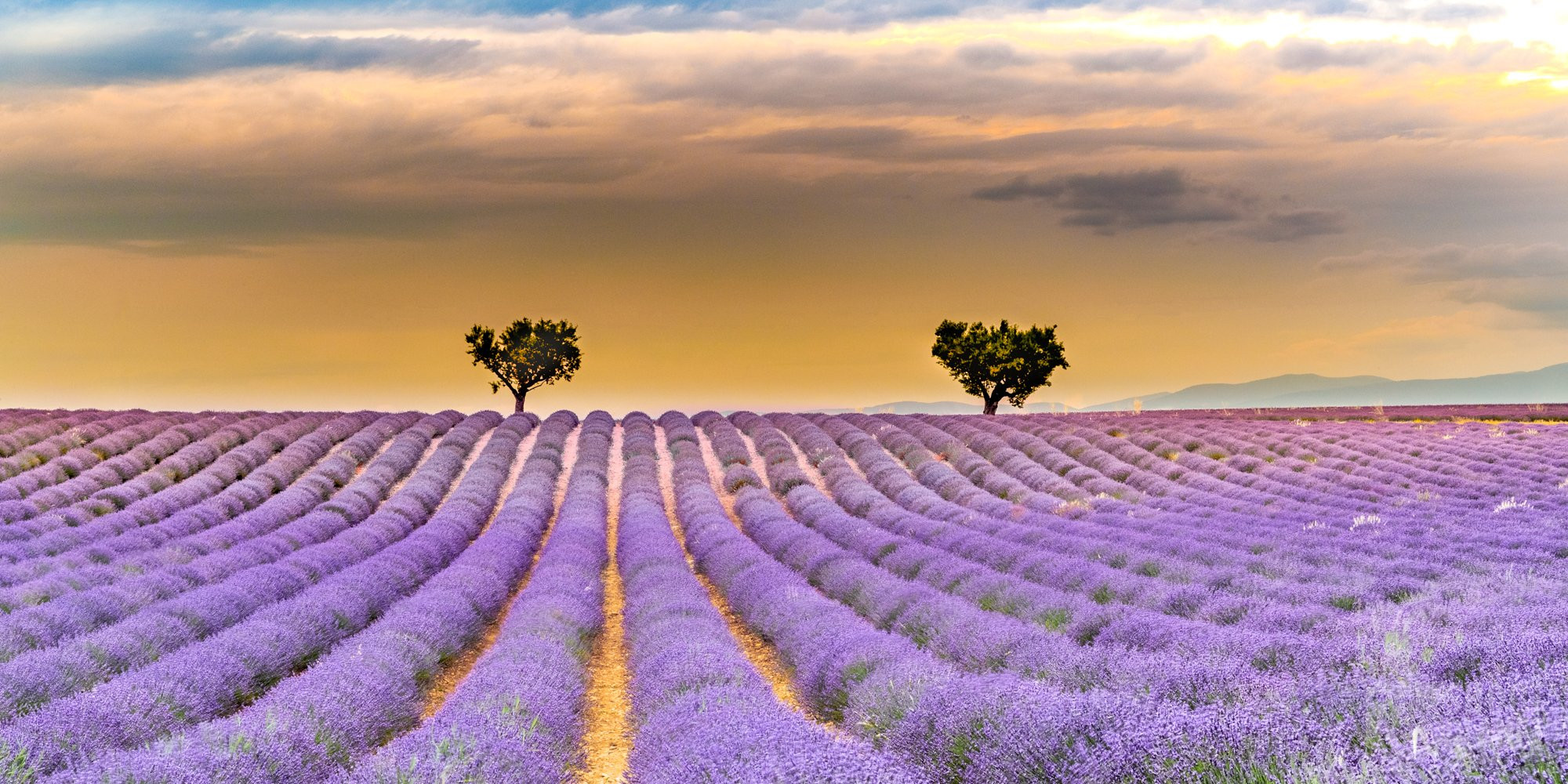 Valensole lavender and trees sunset, Haute-Provence France