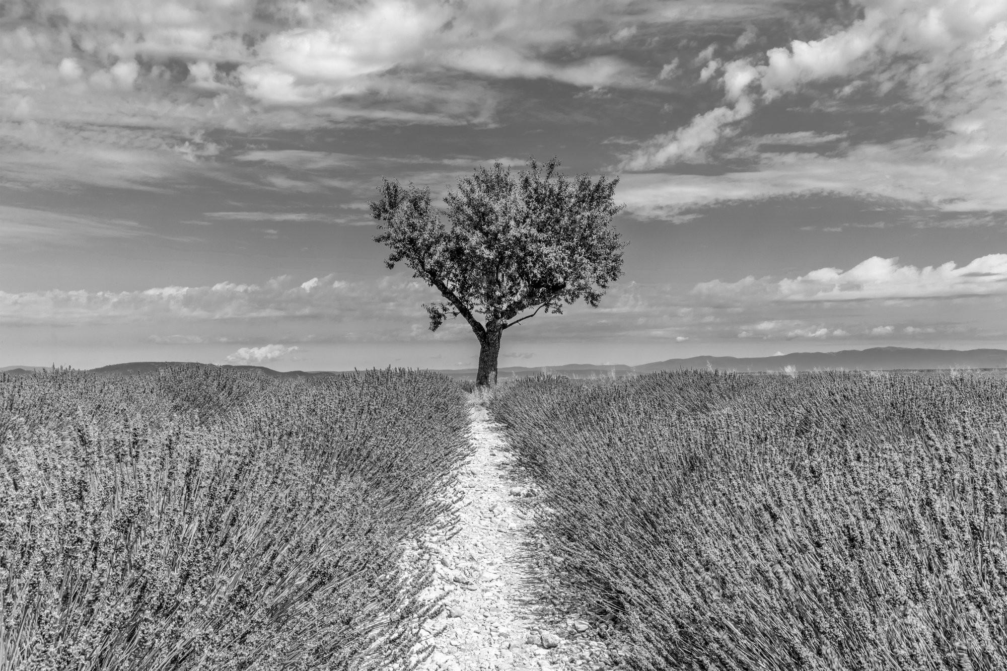 Tree in lavender field, Valensole, Haute-Provence France