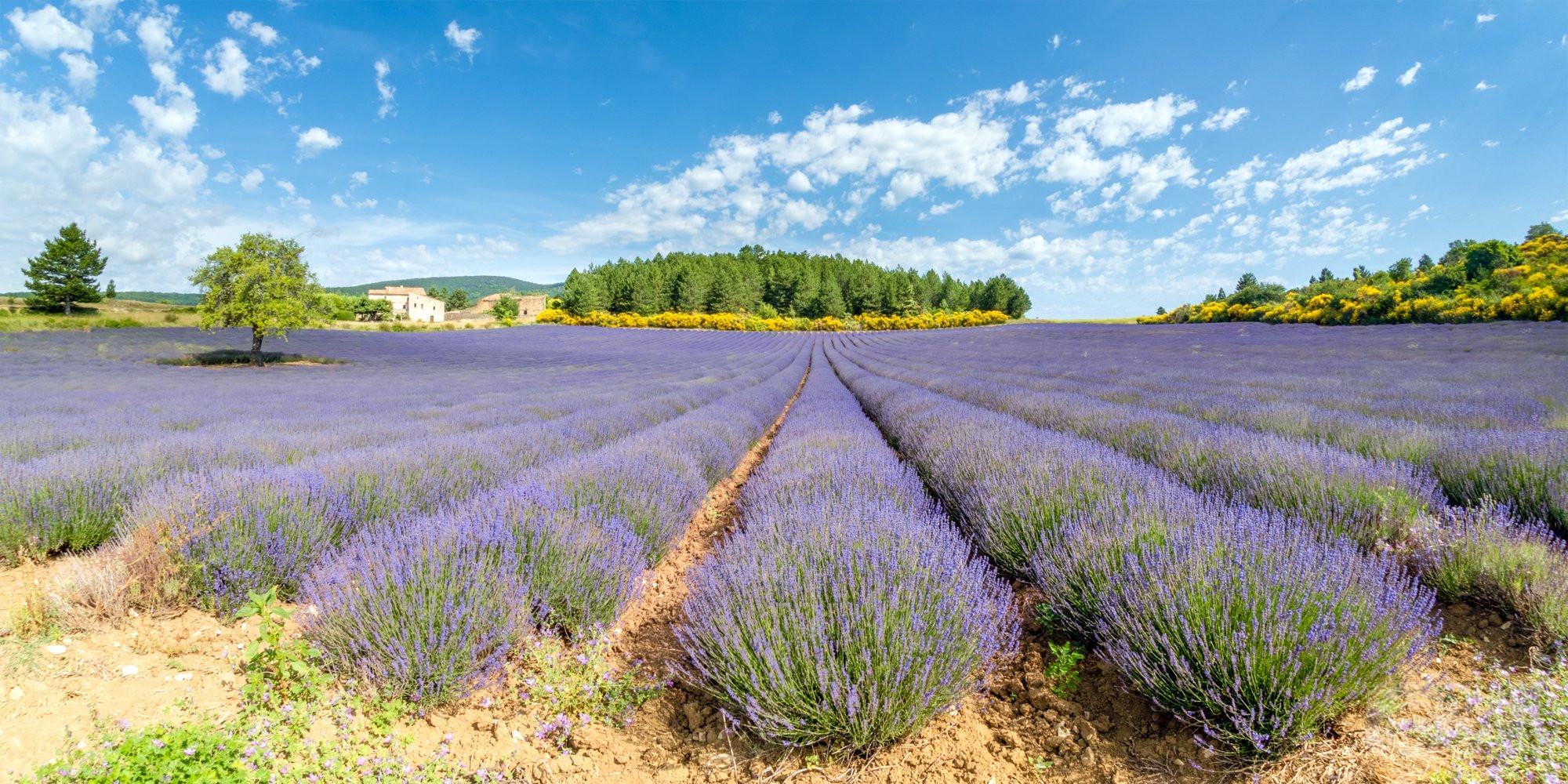 Aurel village lavender fields, Drome France