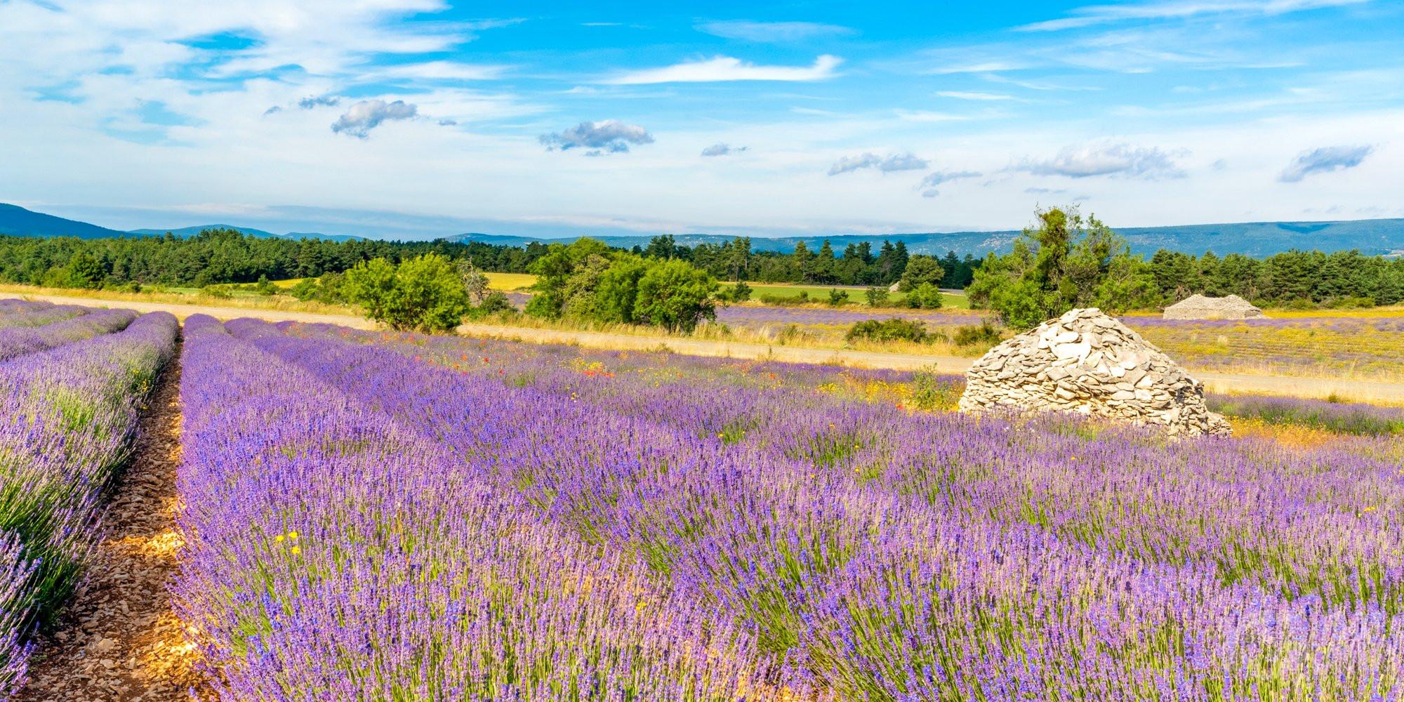 Ferrassières lavender fields, Vaucluse France