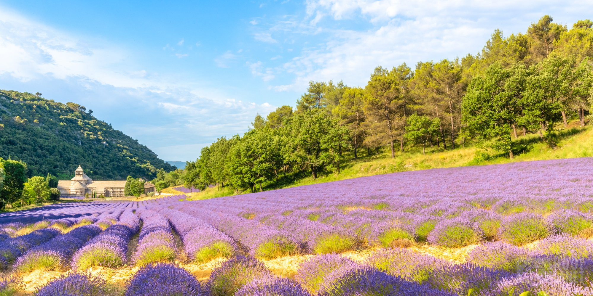 Sénanque Abbey and lavender fields, Vaucluse France