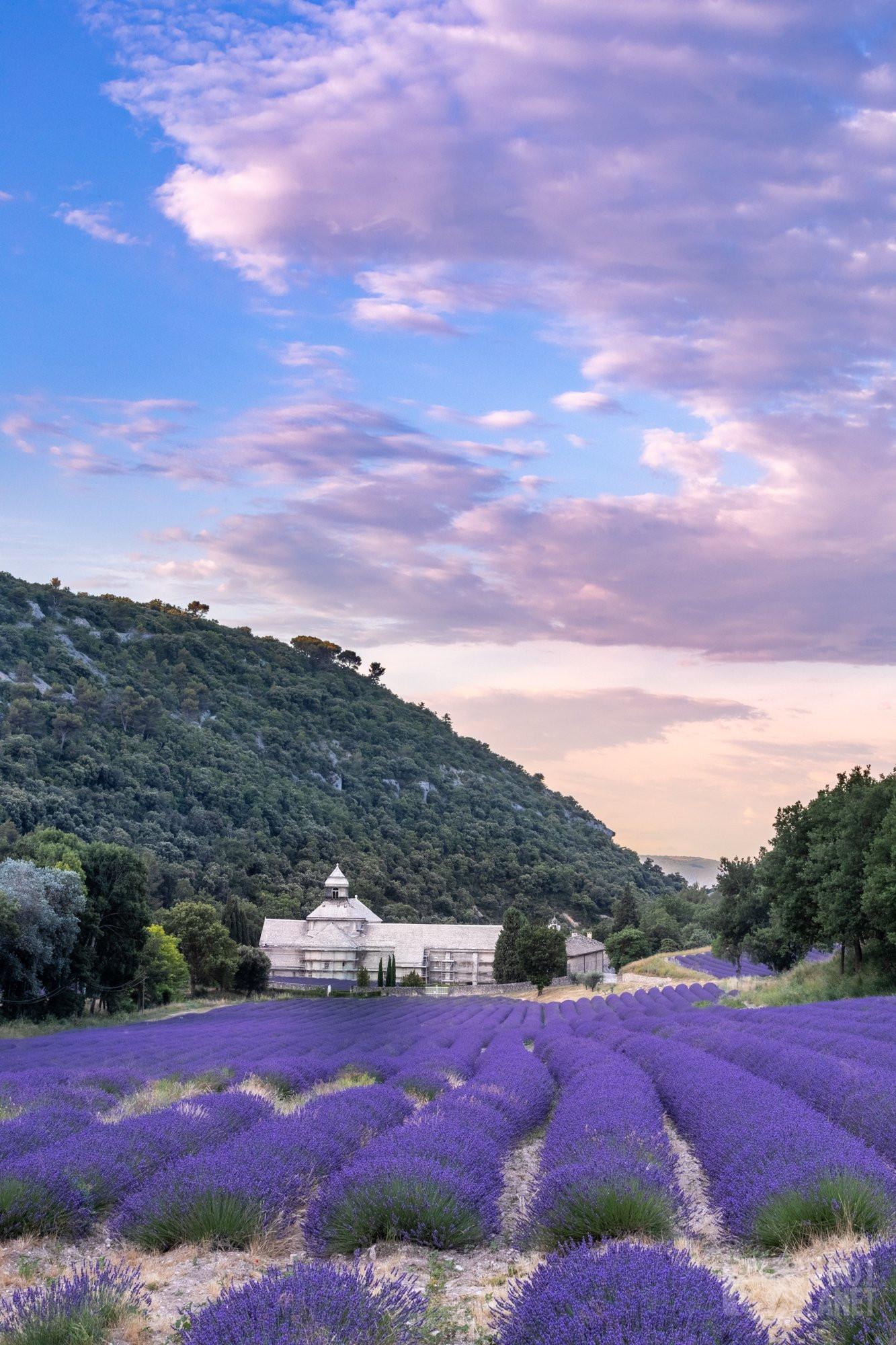 Sénanque Abbey lavenders field sunrise, Vaucluse France