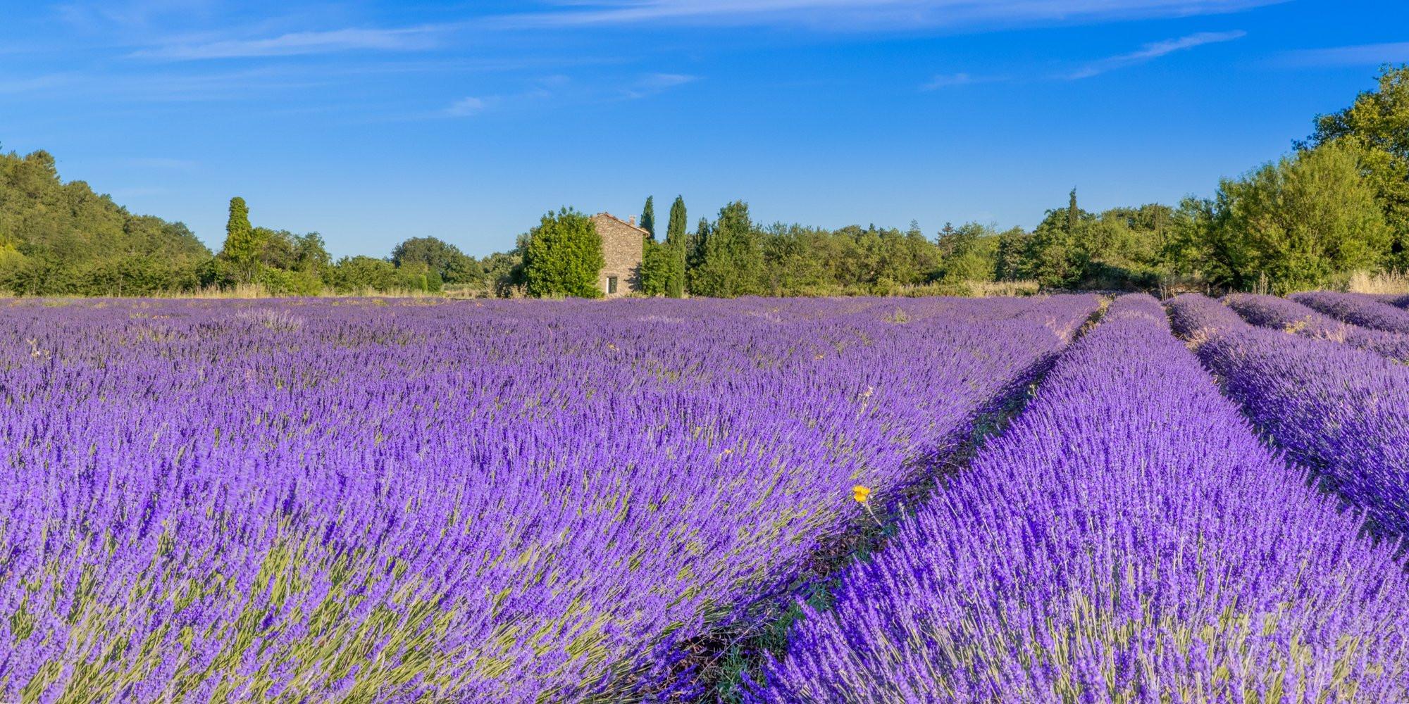 Lavenders fields, Saignon village in Vaucluse France