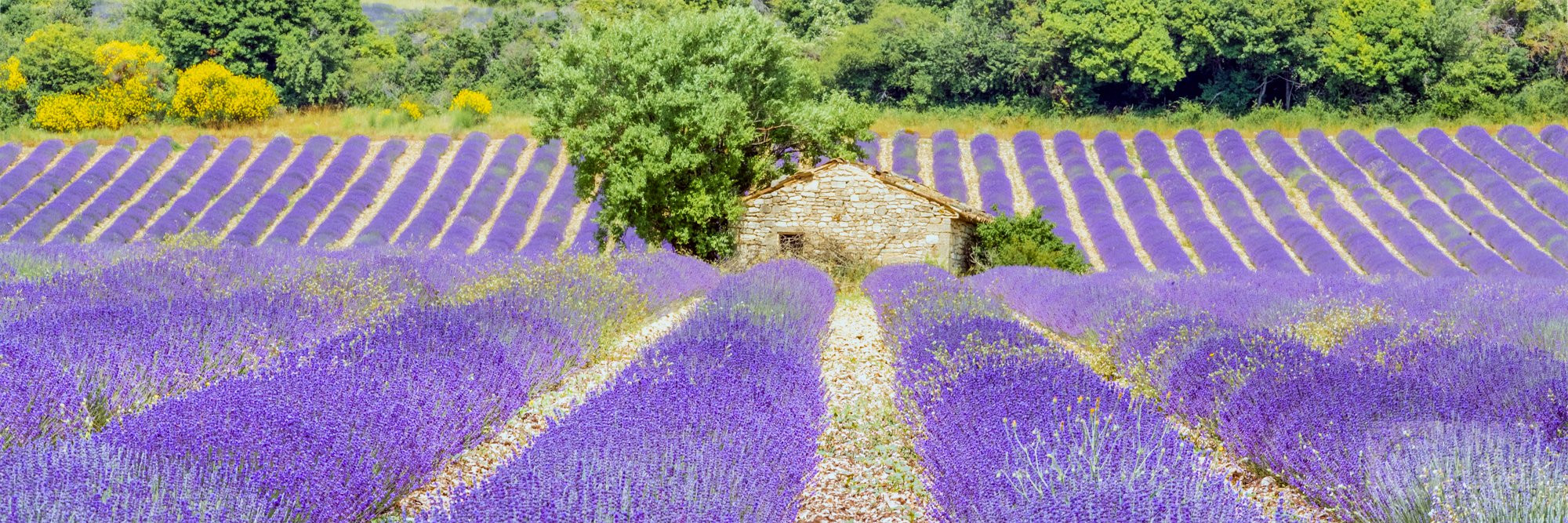 Sault lavender fields and stone house, France