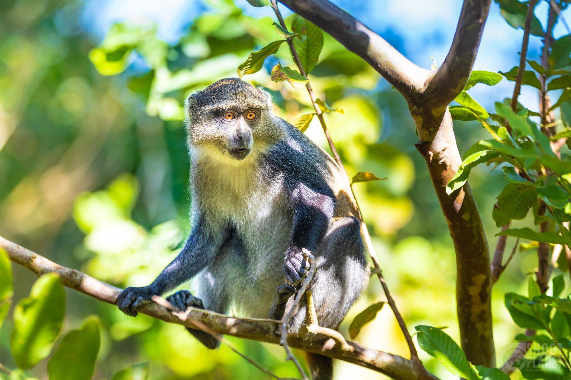 Blue monkey portrait, Jozani Forest Zanzibar Tanzania