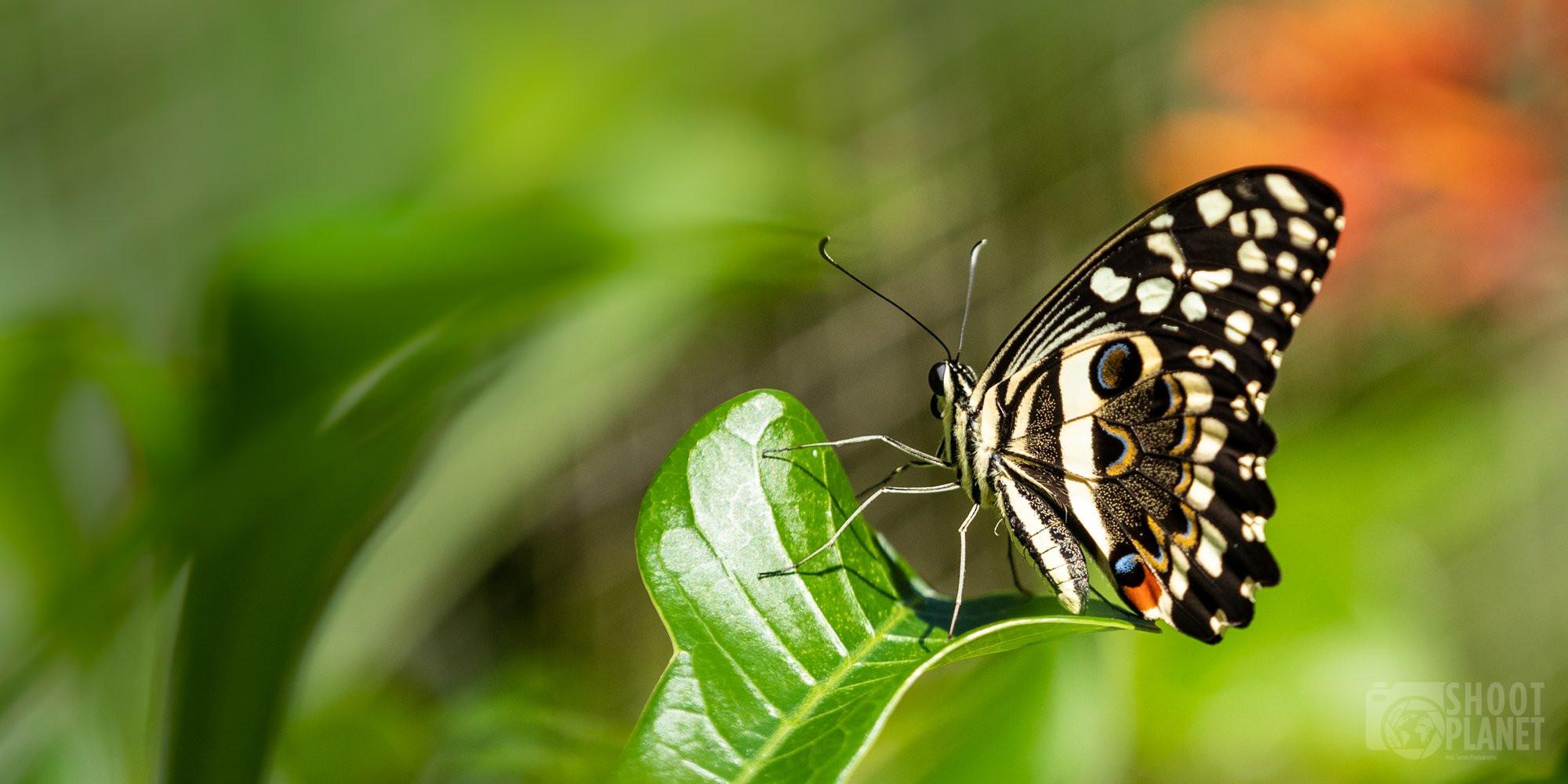 Butterfly of Jozani Forest, Zanzibar Tanzania
