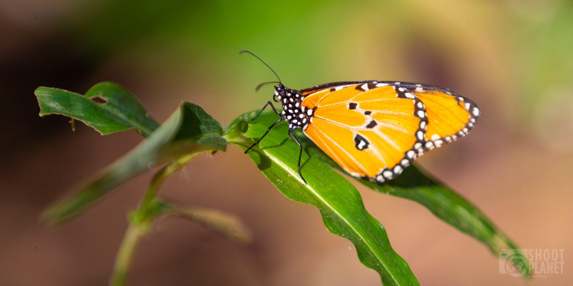Orange butterfly of Jozani Forest, Zanzibar Tanzania