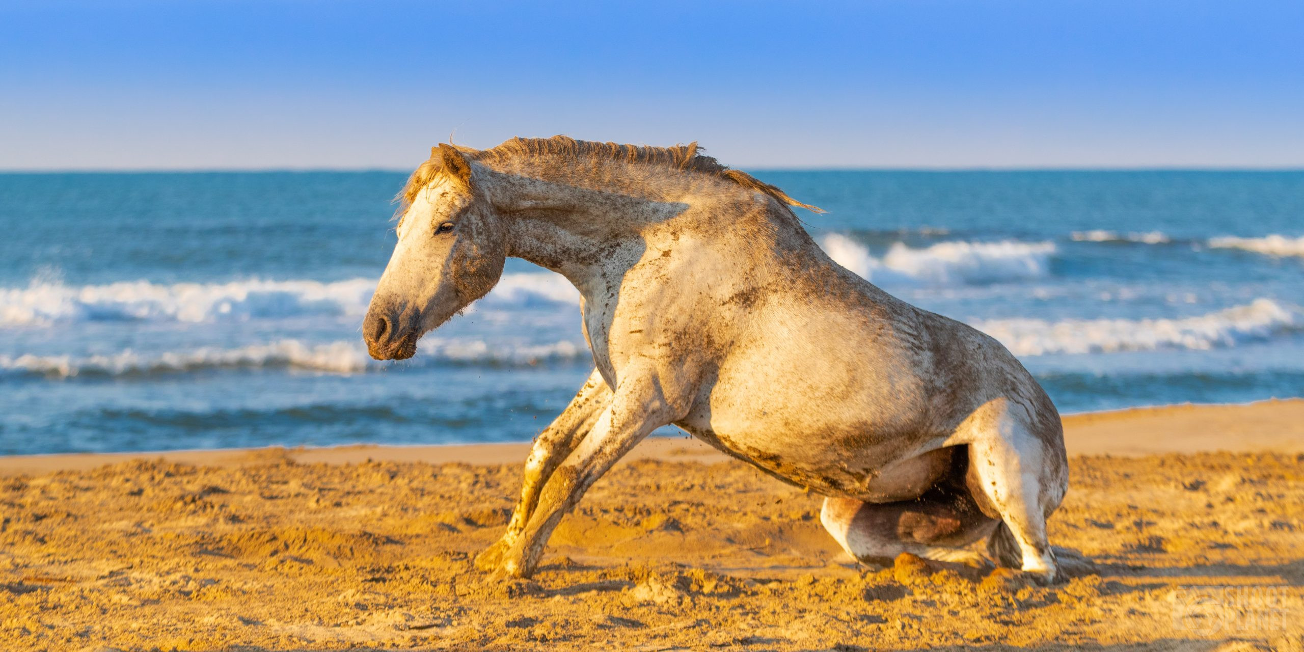 Horse playing on a Camargue beach, france