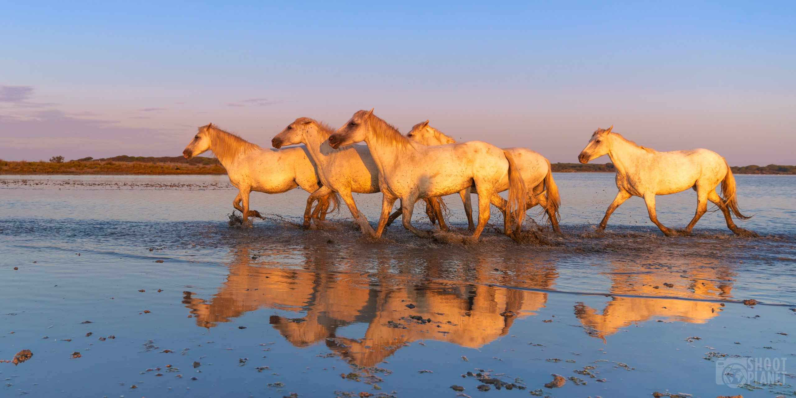Horses pond reflections at sunrise in Camargue France