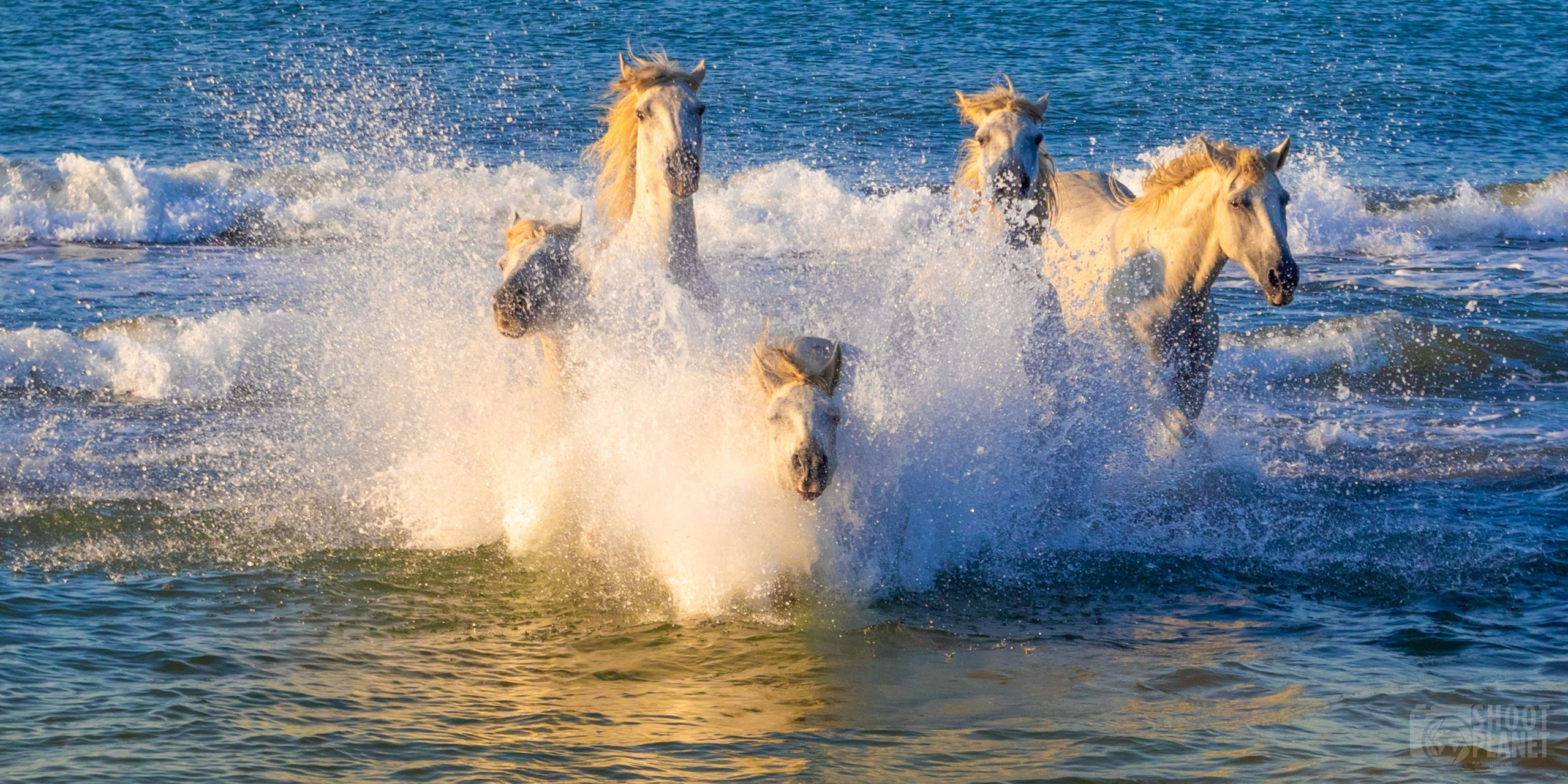 Horses galloping in the sea, Camargue France