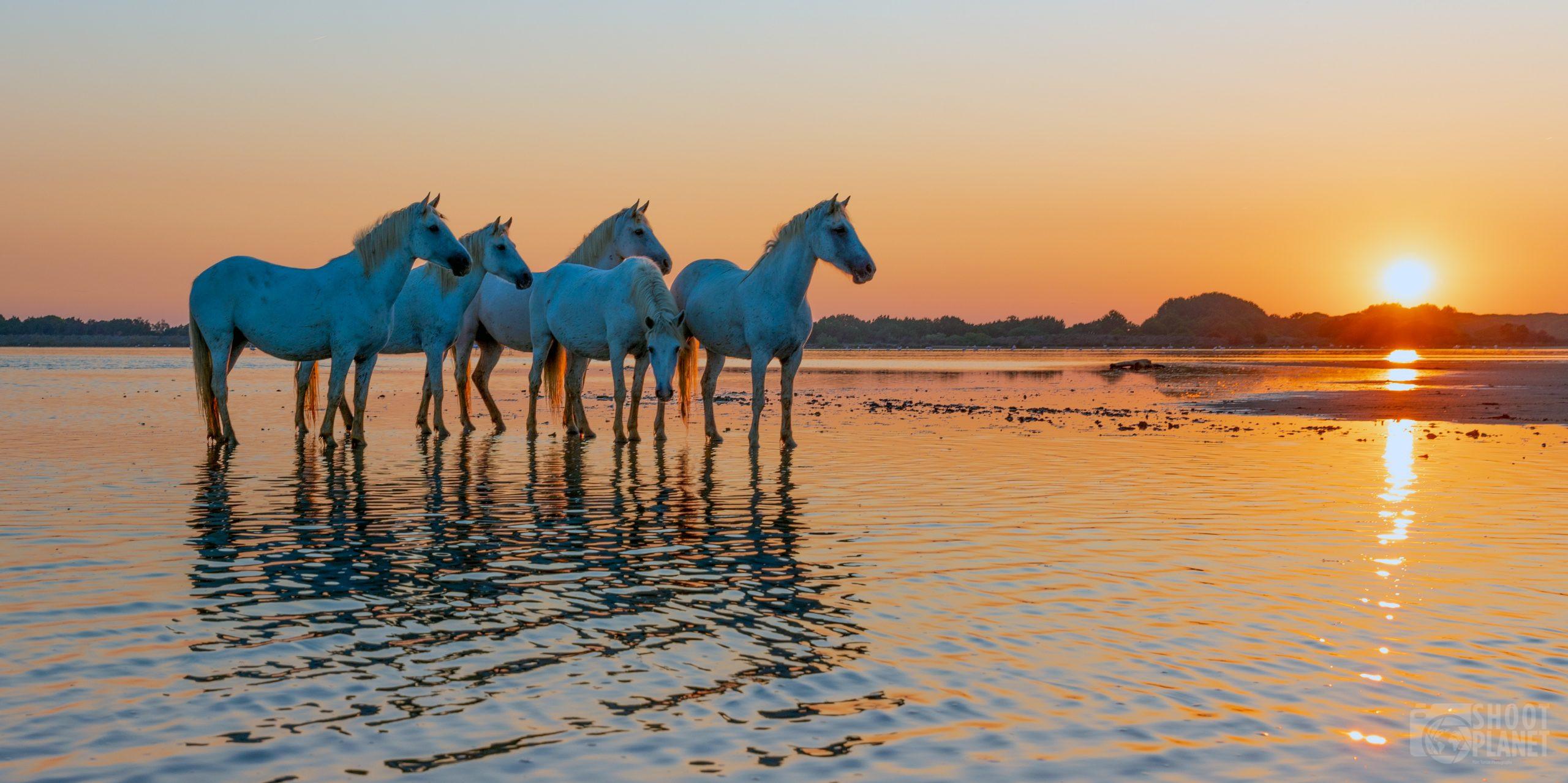 Horses sunrise on a Camargue pond, France