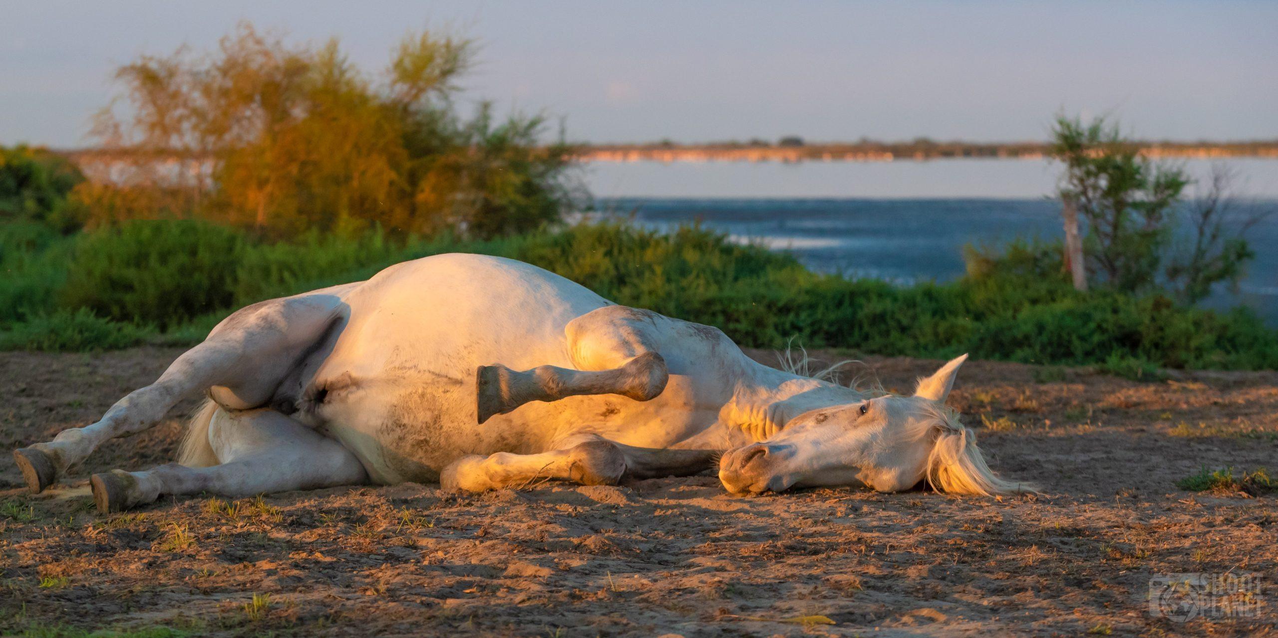 Horse resting near a pond, Camargue France