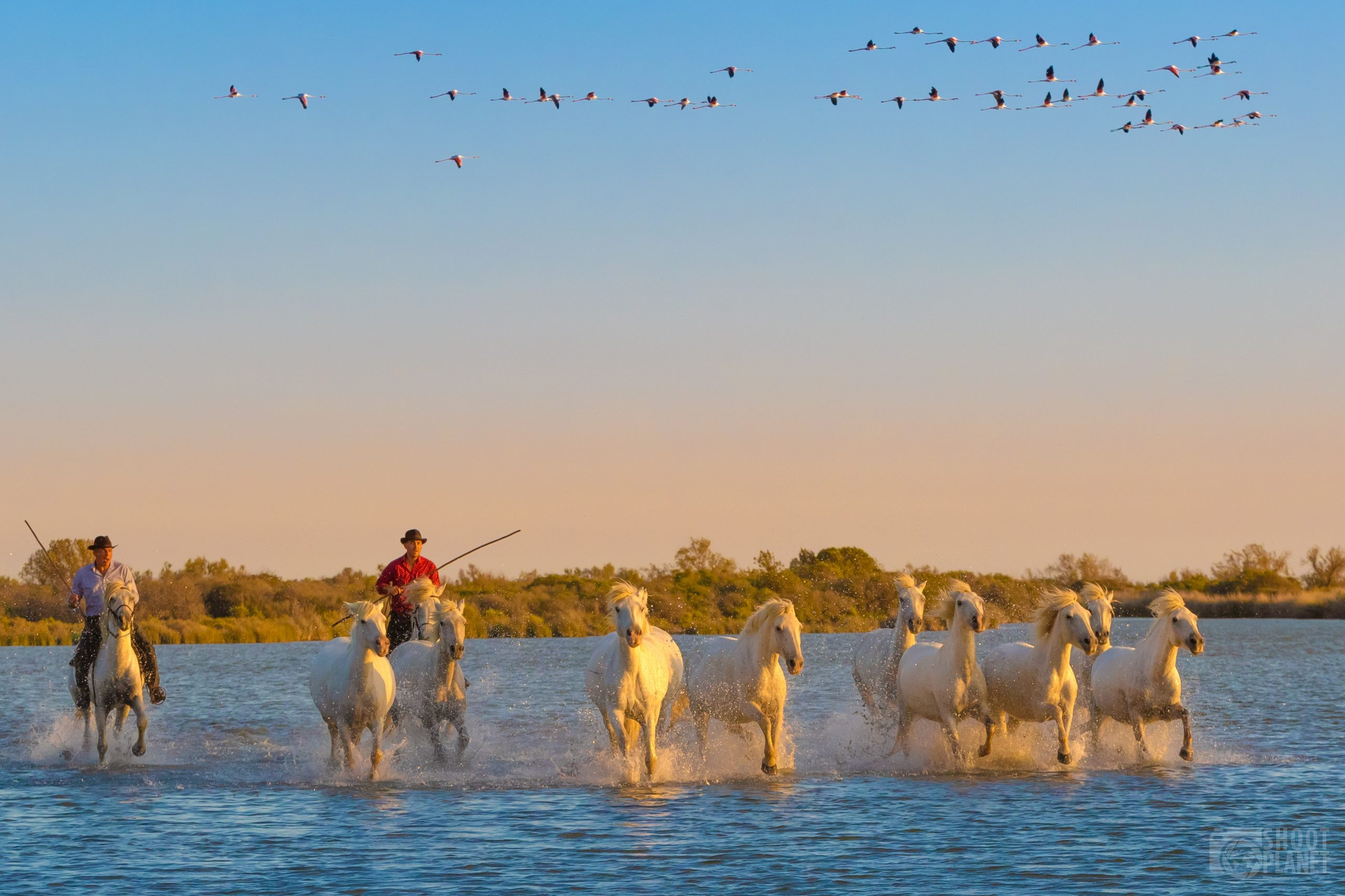 Horses galloping in a Camargue Pond, France