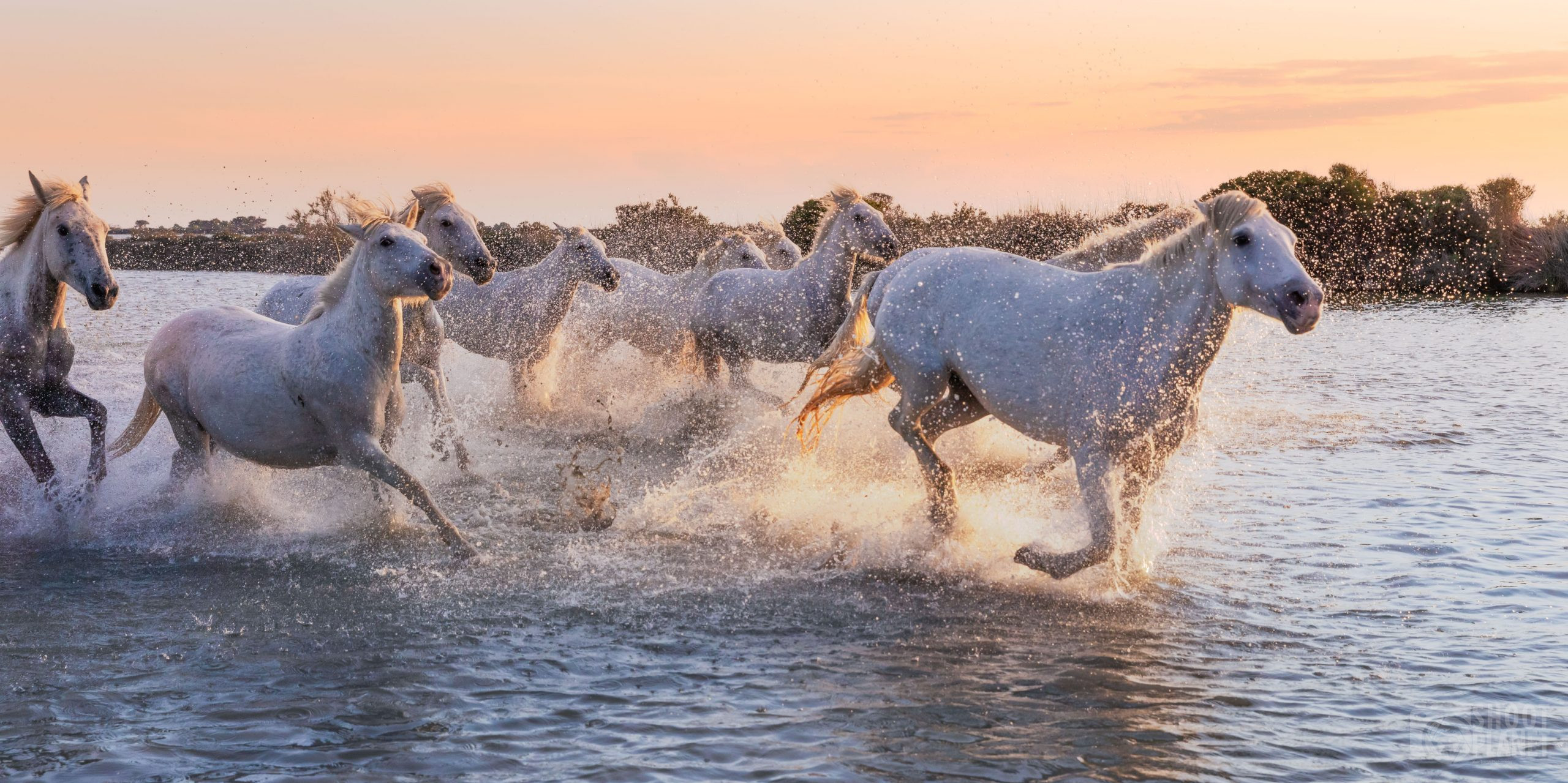 Horses galloping in a Camargue Pond, FranceHorses galloping in a Camargue Pond, France