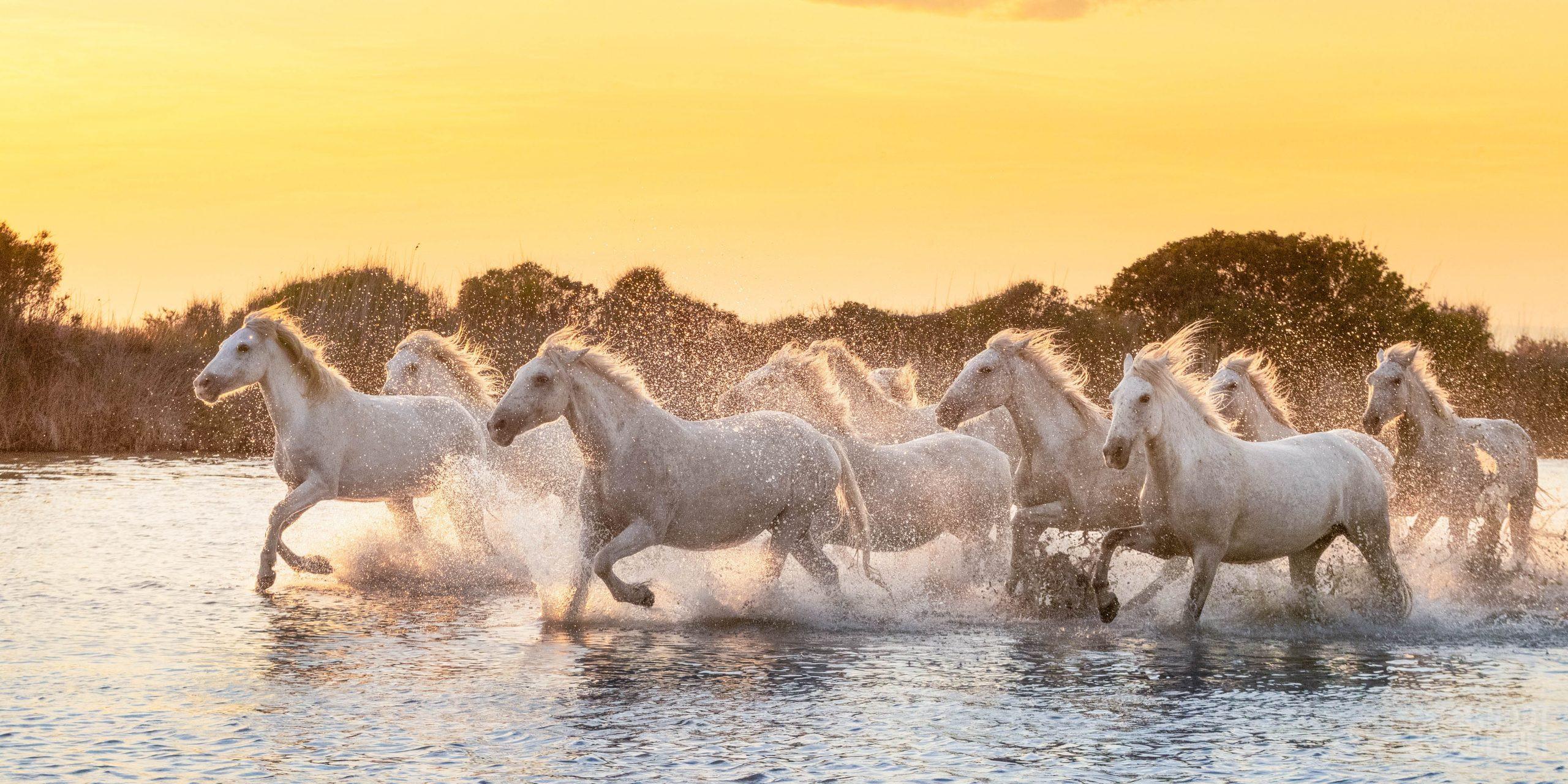 Horses sunset light in a Camargue Pond, France