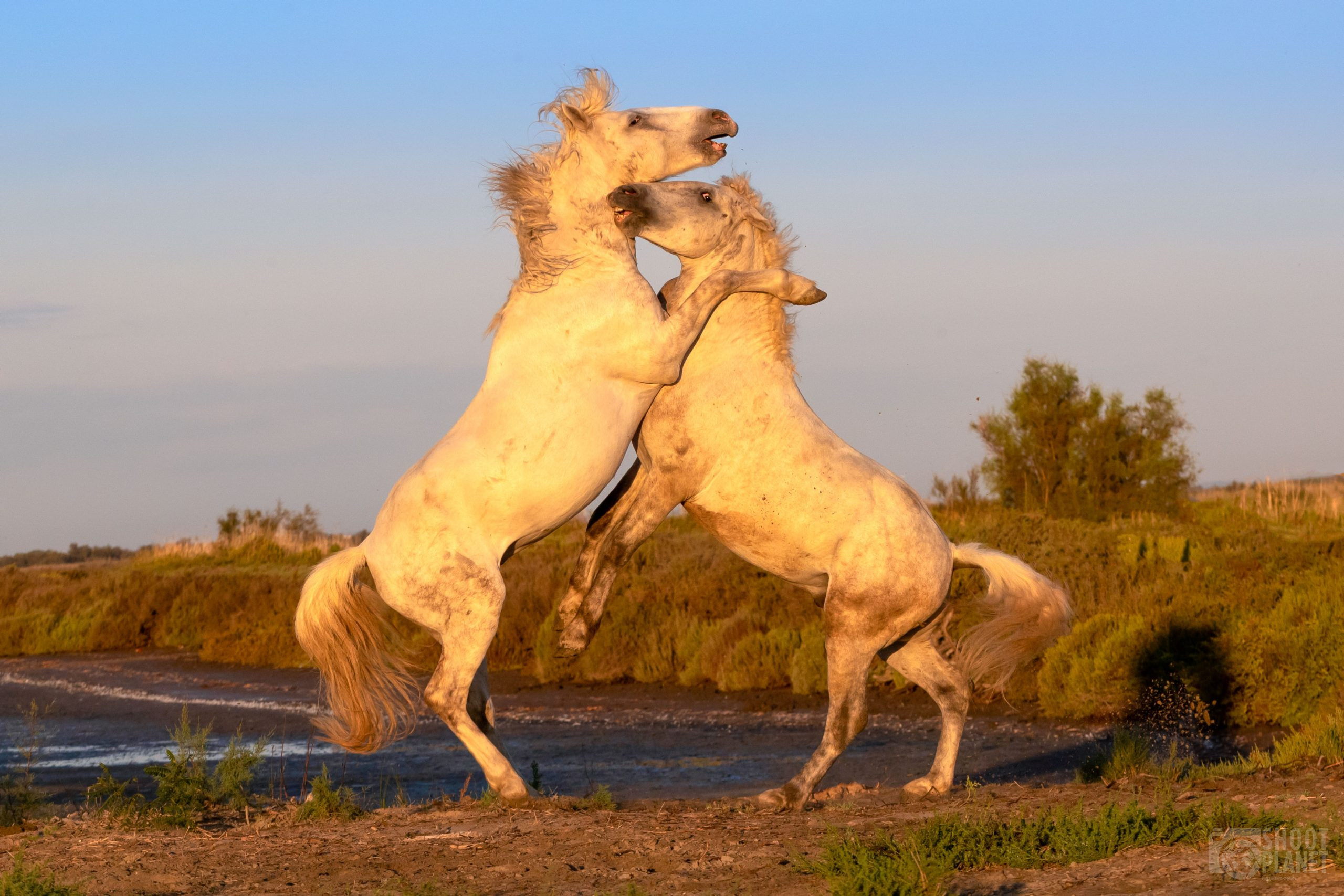 Stallions horses fighting at sunrise, Camargue France