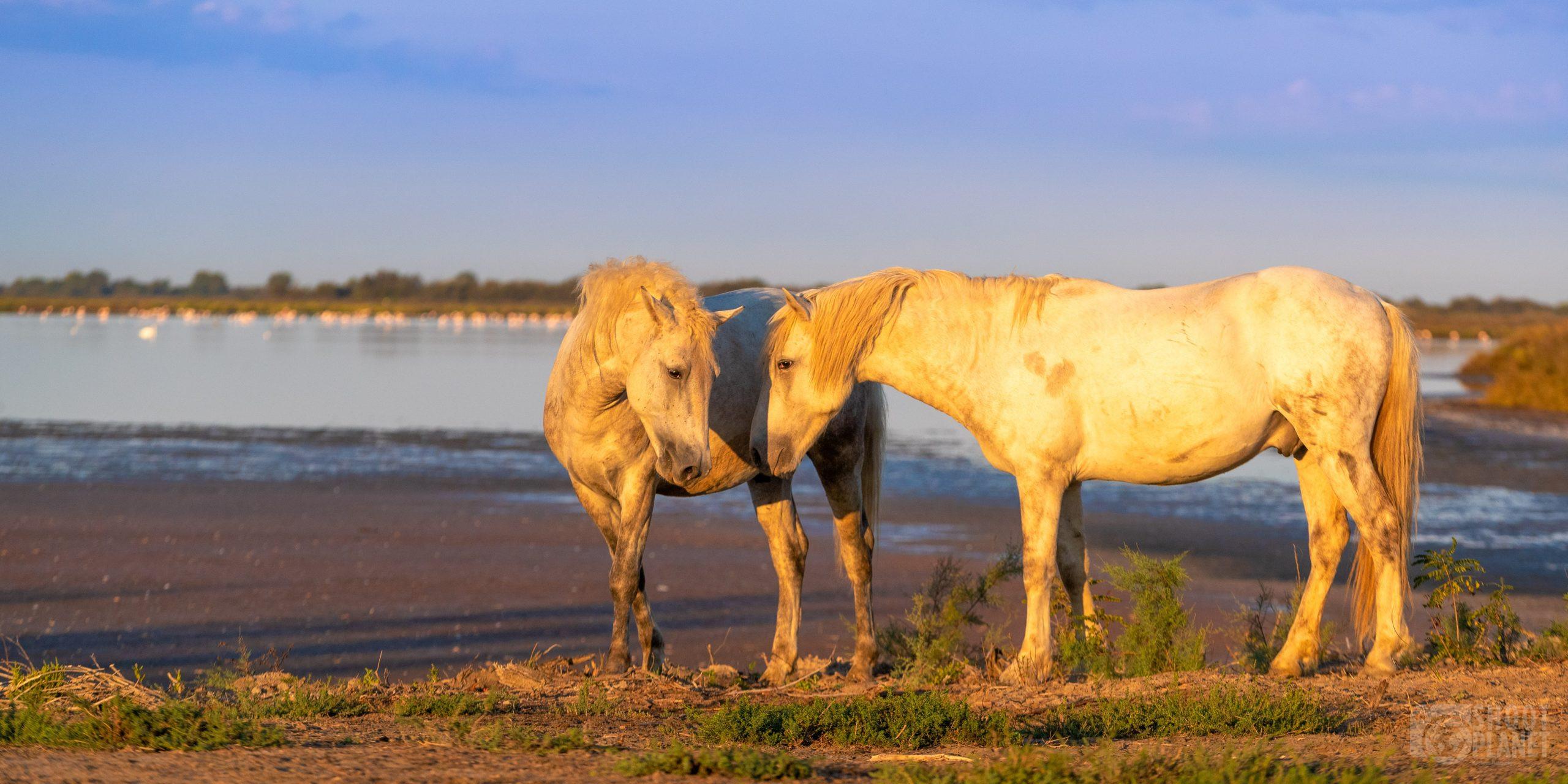 Horse stallions at sunrise, Camargue France