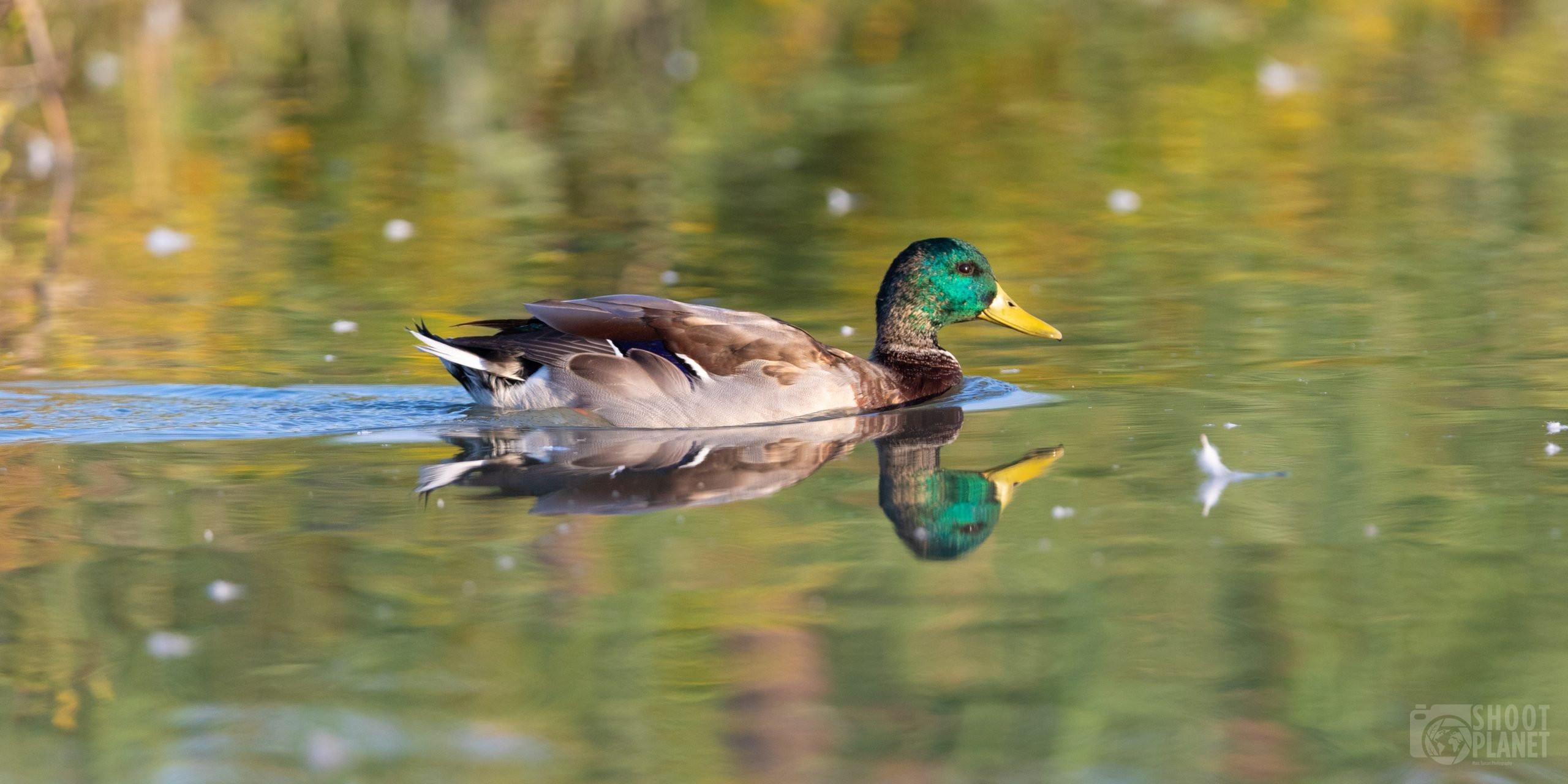 Mallard duck portrait in Camargue France