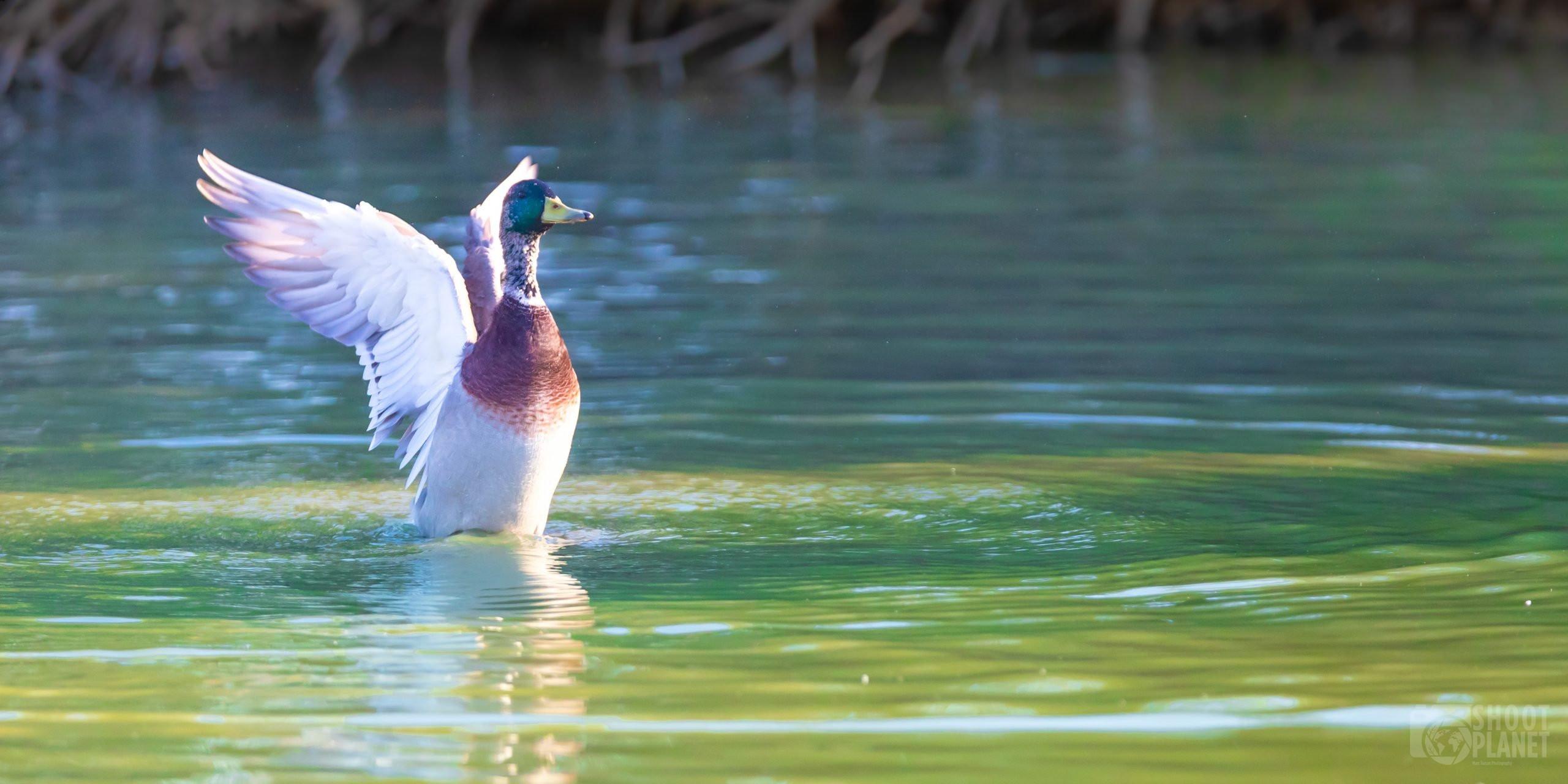 Mallard duck in Camargue France