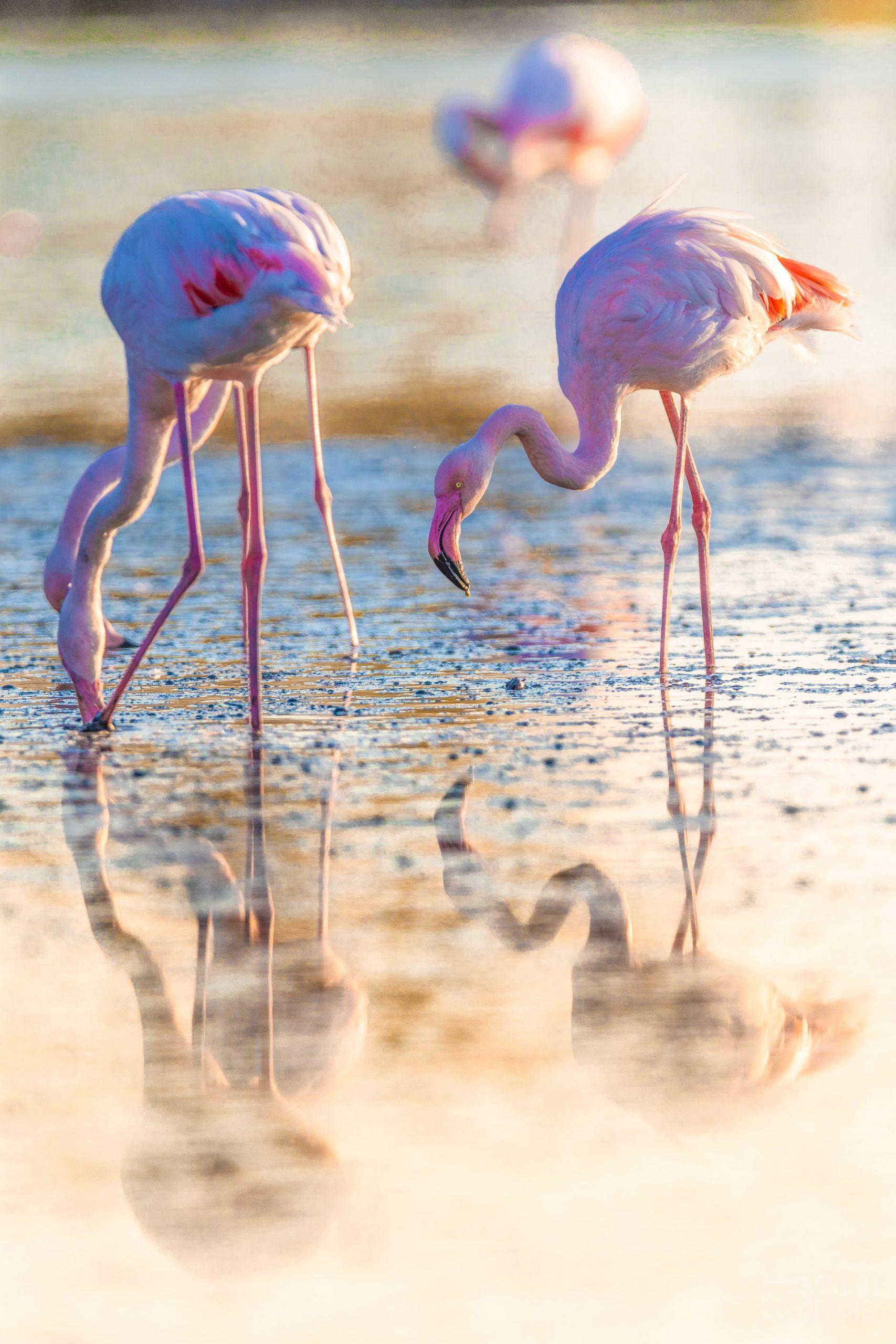 Flamingos reflections, Pont de Gau, Camargue France