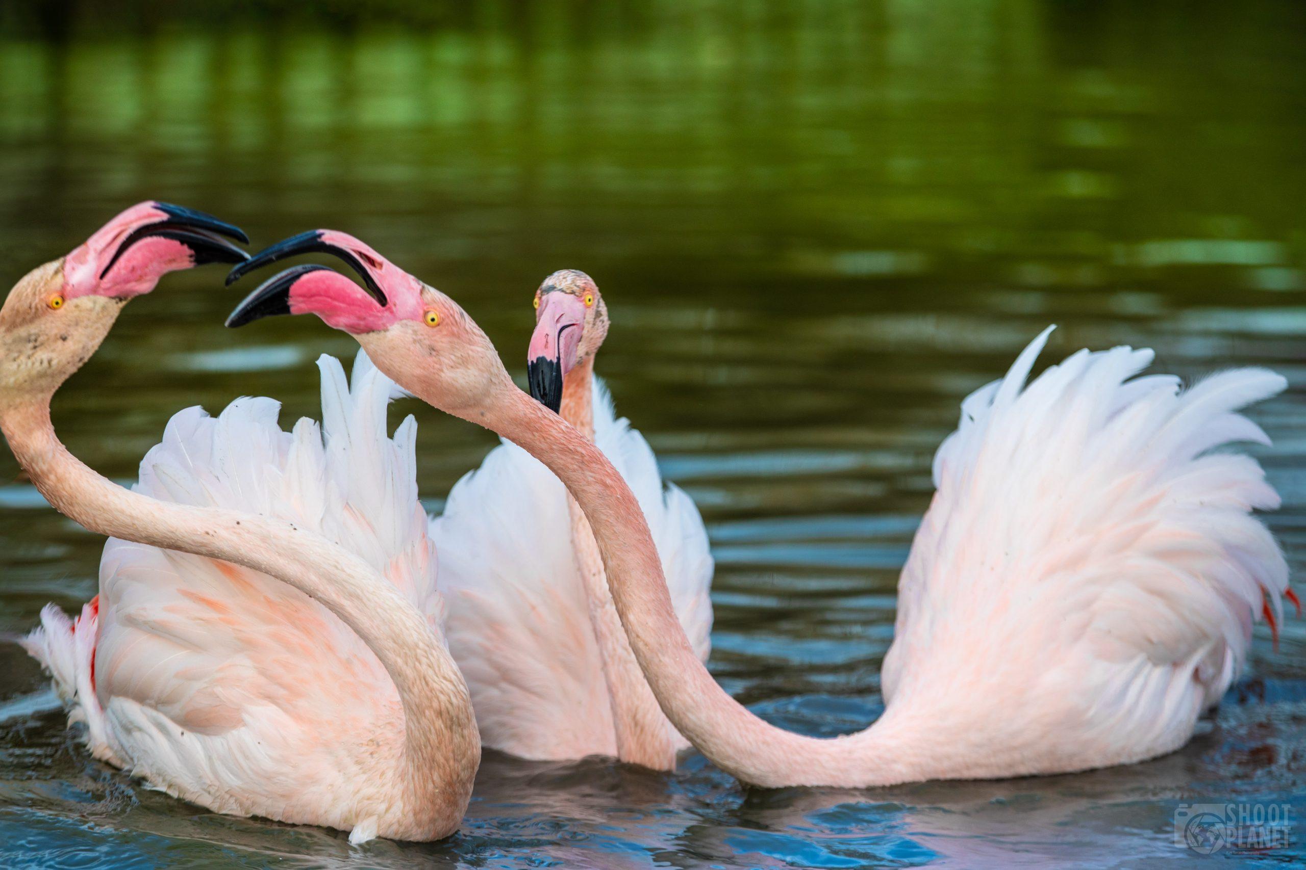 Flamingos fight, Pont de Gau, Camargue France