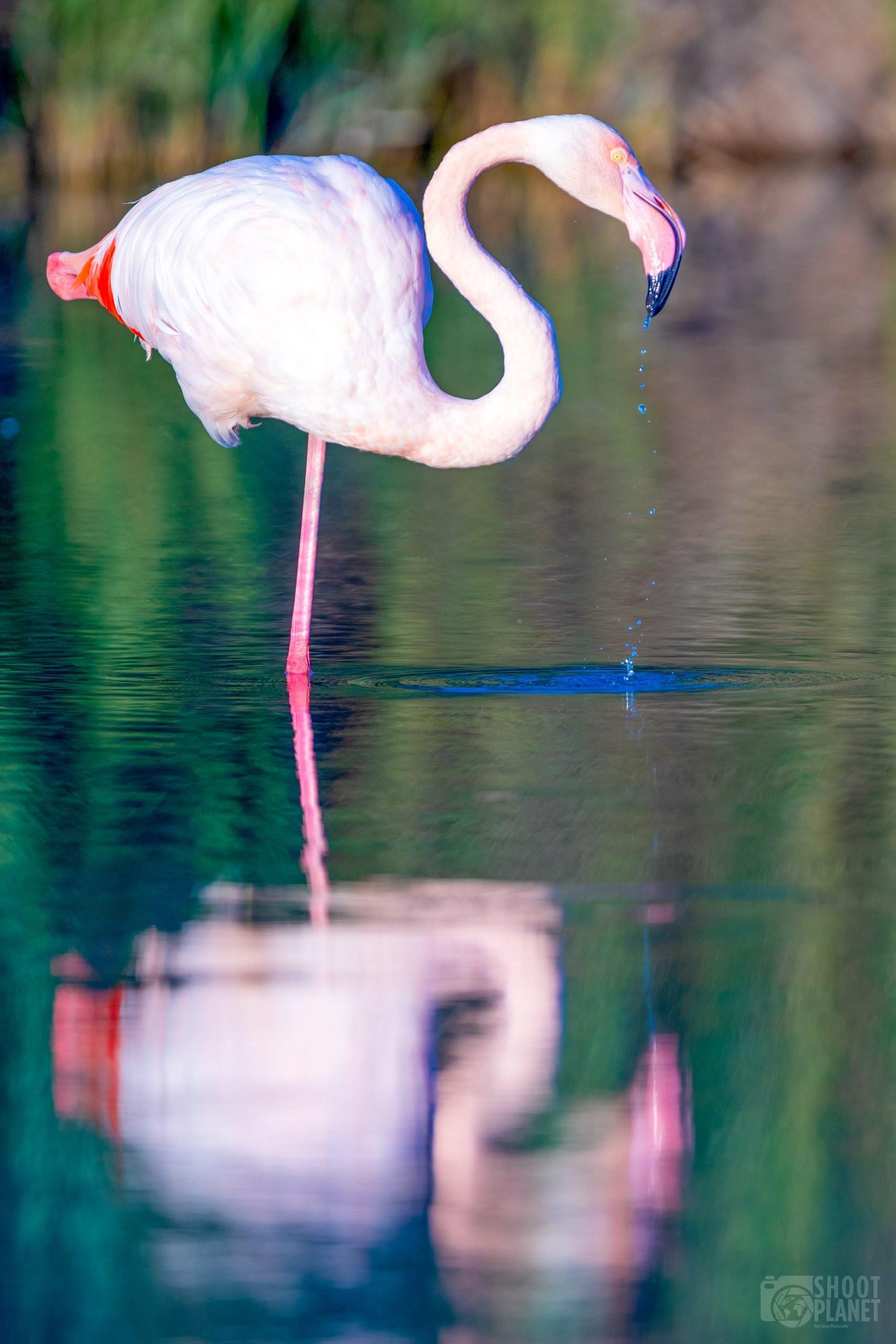 Flamingo reflection, Pont de Gau reserve, Camargue France